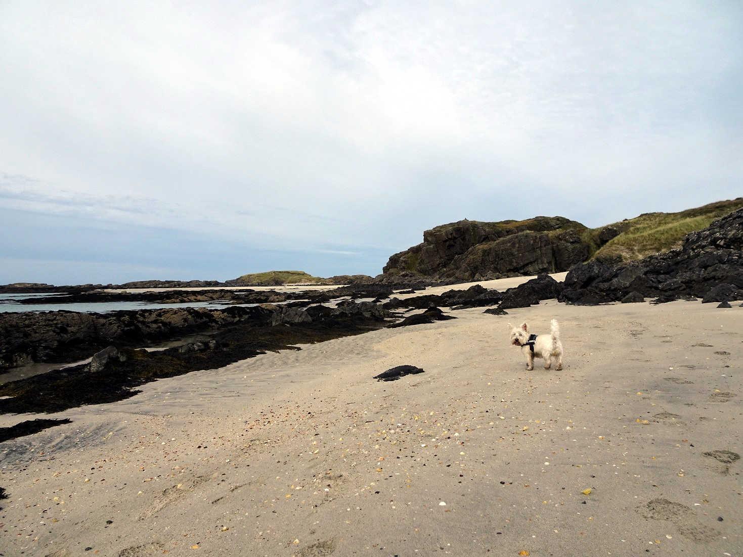 poppy the westie path finding to MacNeil Beach