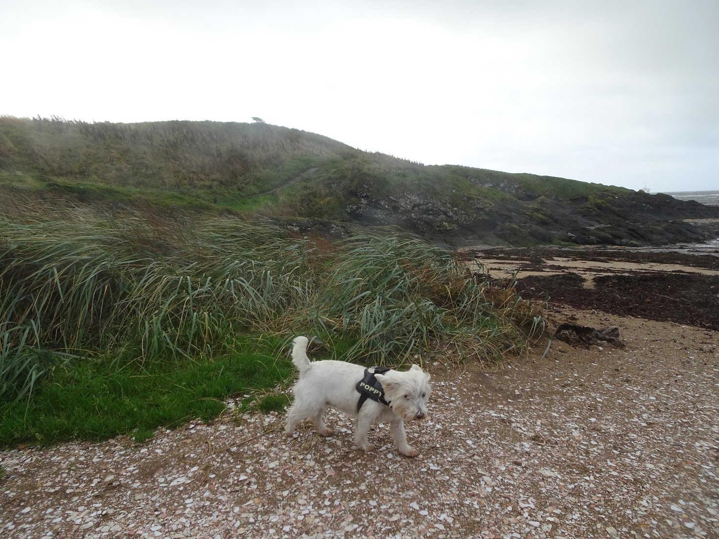Poppy the westie last walk on shell beach