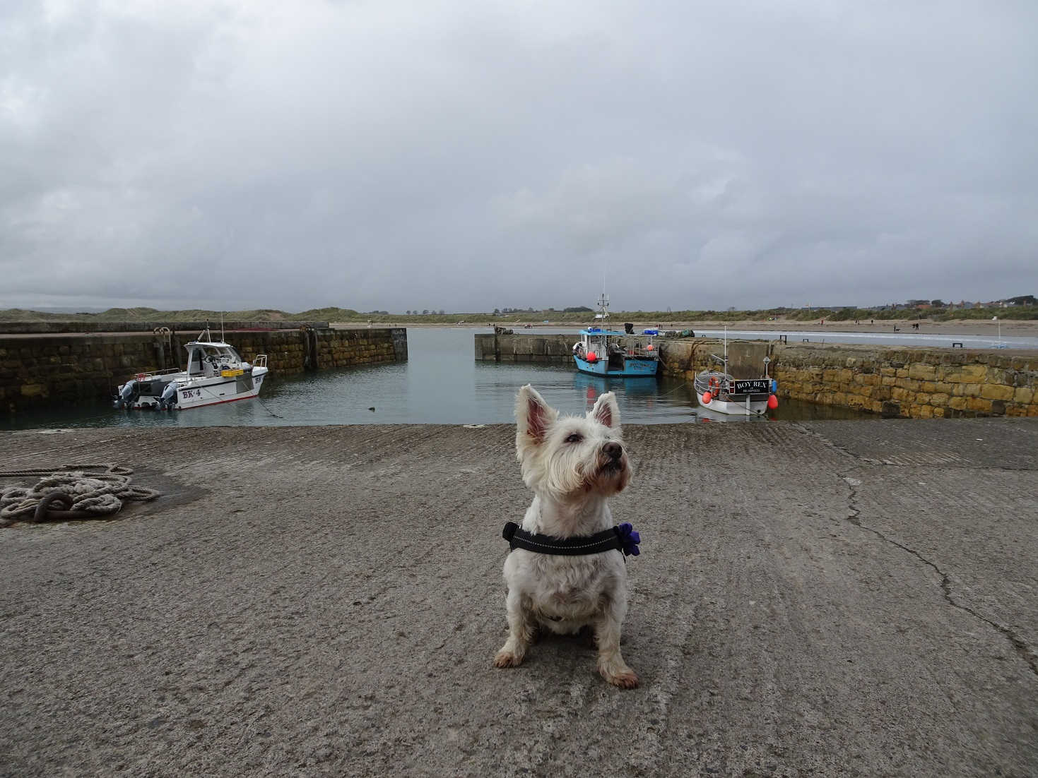 popoy the westie in Beadnell Harbour