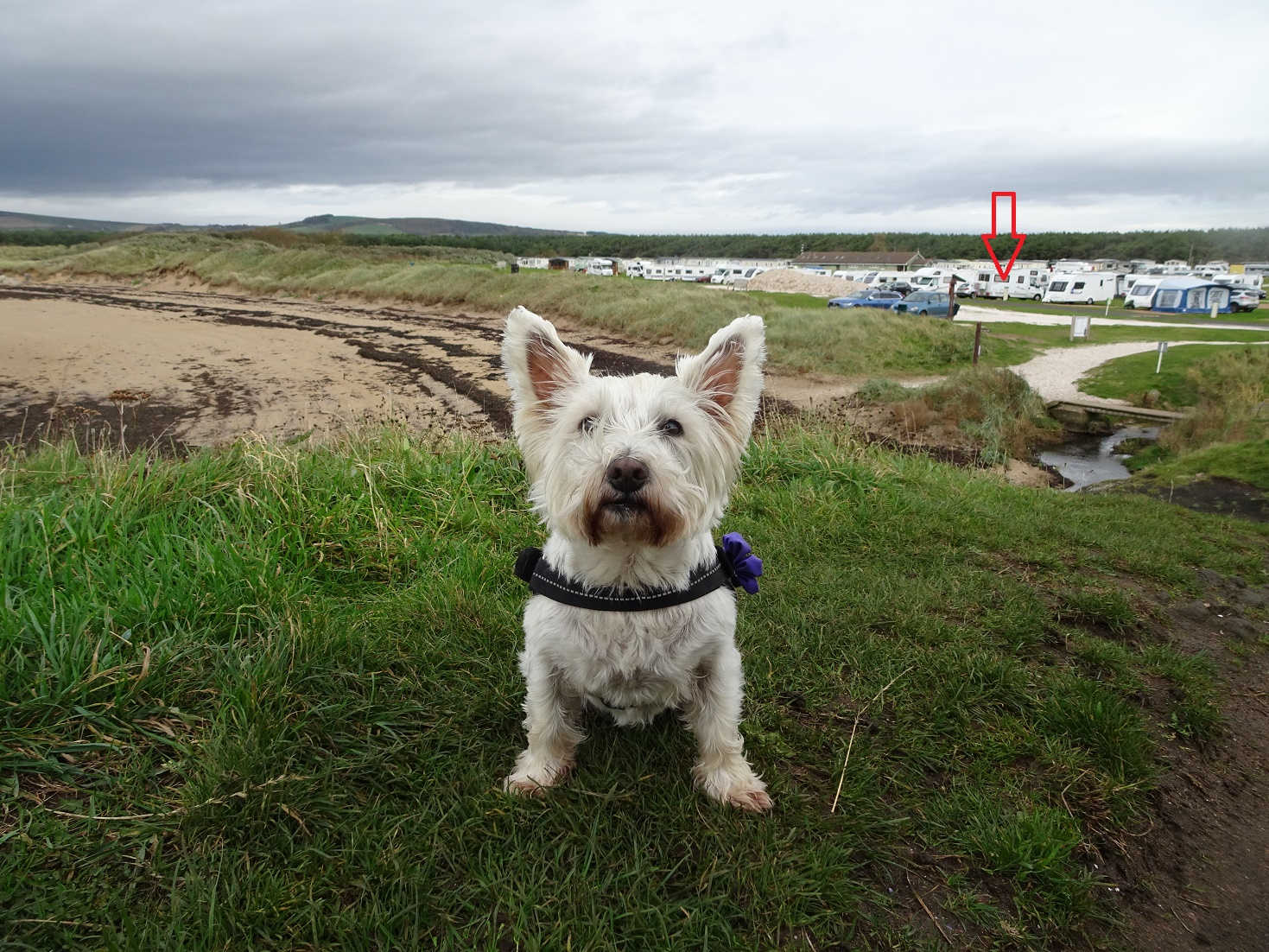 popppy the westie and betsy at shell bay campsite