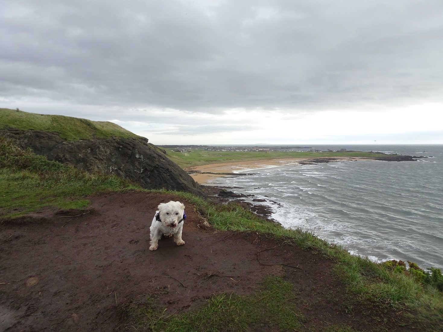 poppy the westie above earlsferry beach