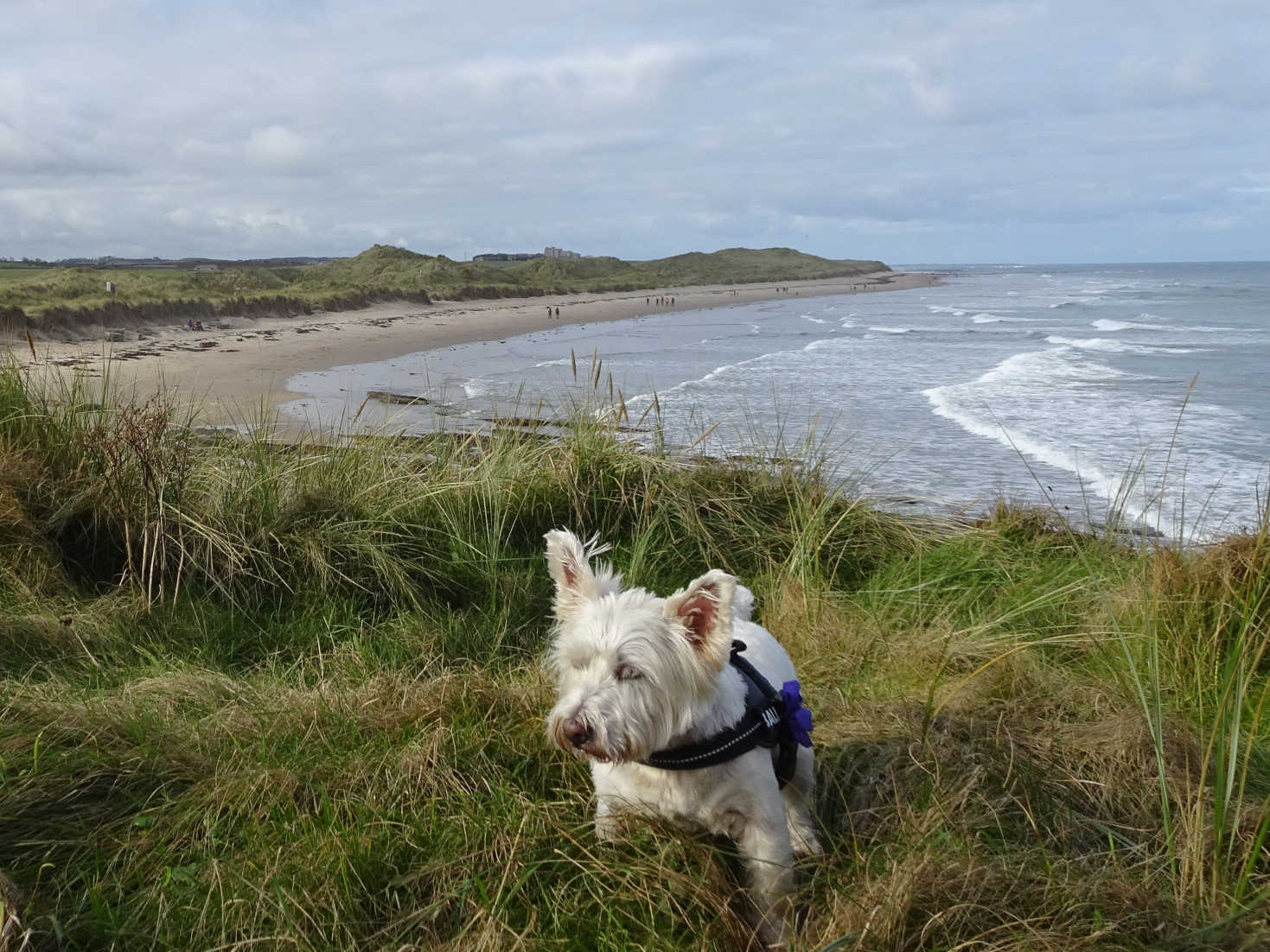 poppy the westie and Bamburgh Castle