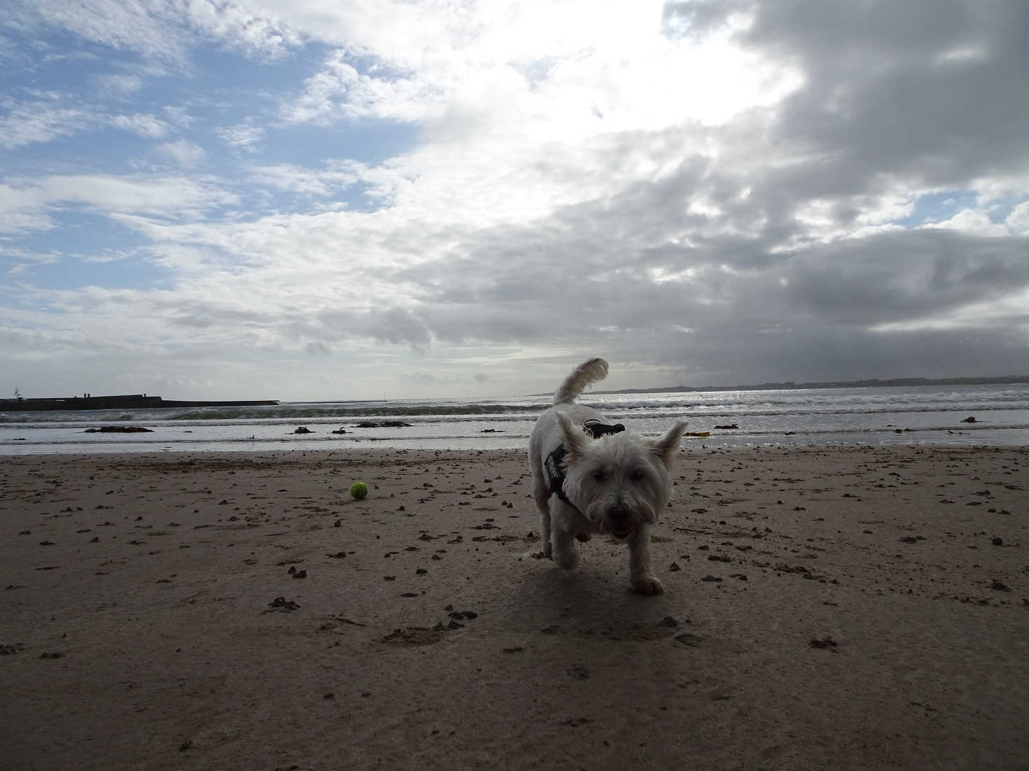 poppy the westie and ball on beach at Beadnell