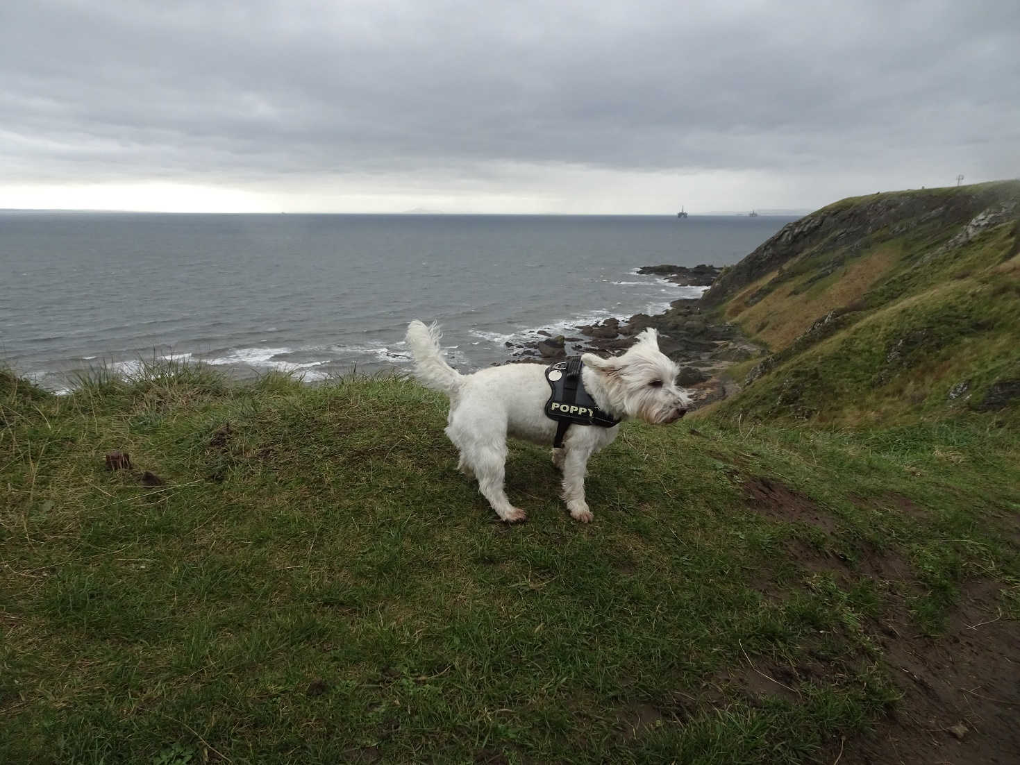 poppy the westie and oil rigs in the forth