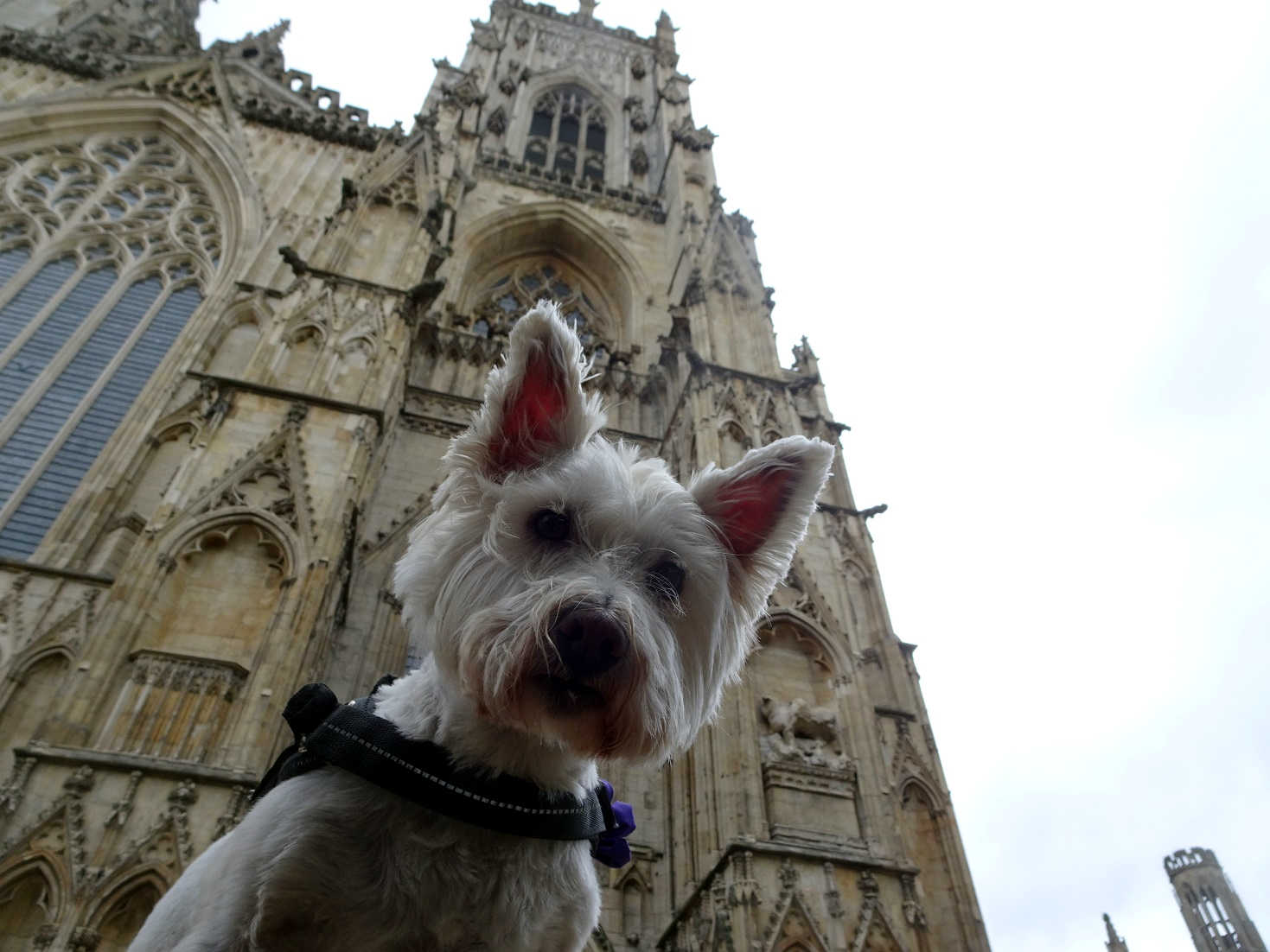 poppy the westie at York Minster