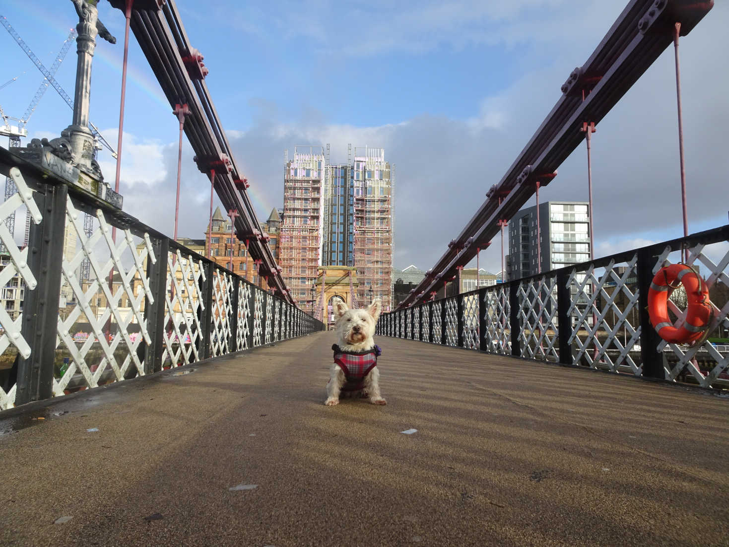poppy the westie crosses bridge to city centre