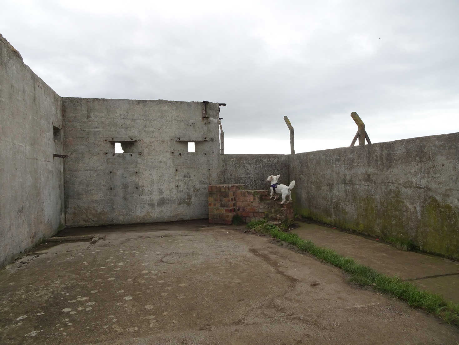 poppy the westie finds shelter in a ww2 gun emplacement fife