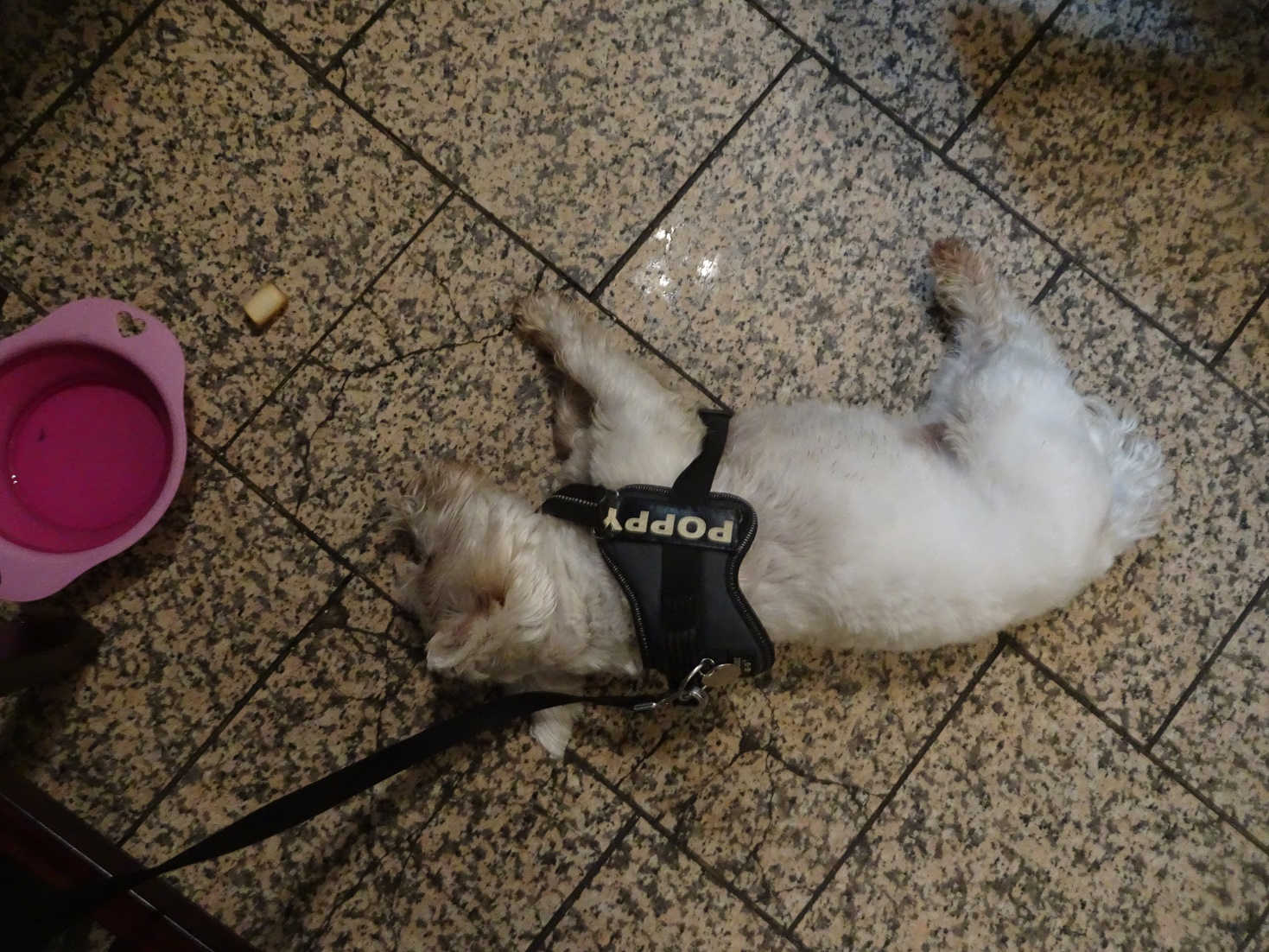 poppy the westie having a nap in the tavern pittenweem