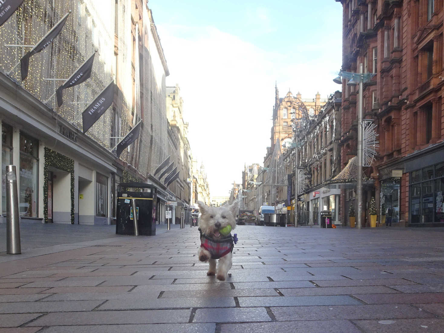 poppy the westie in buchanan street