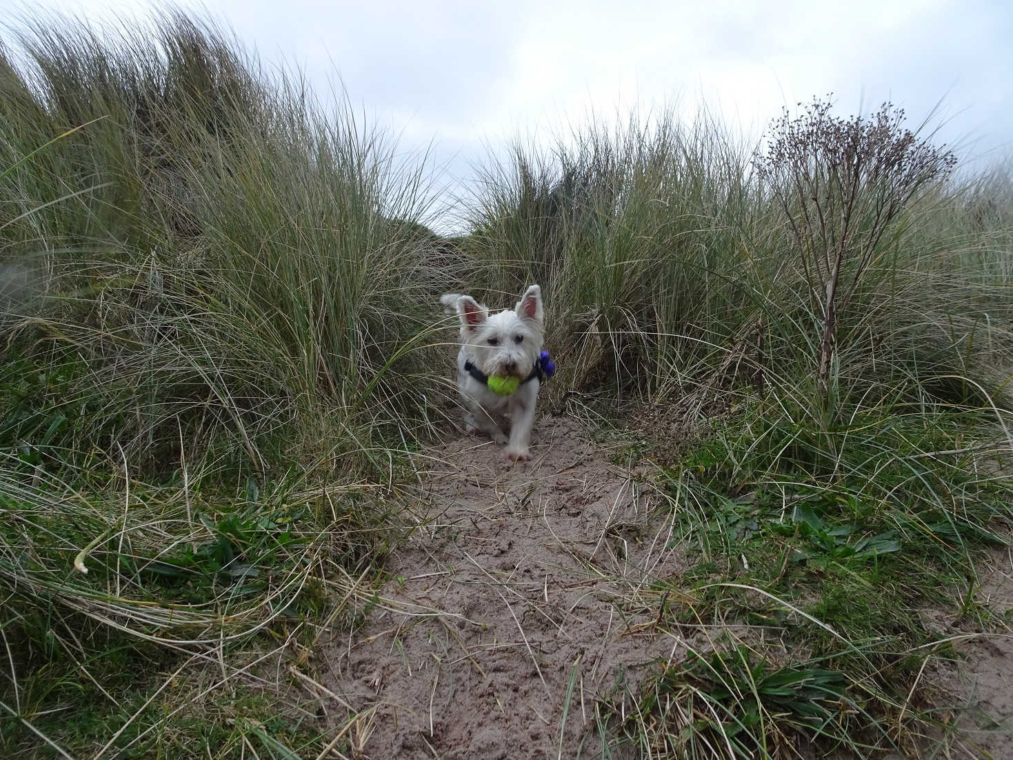 poppy the westie in dunes at beadnell bay
