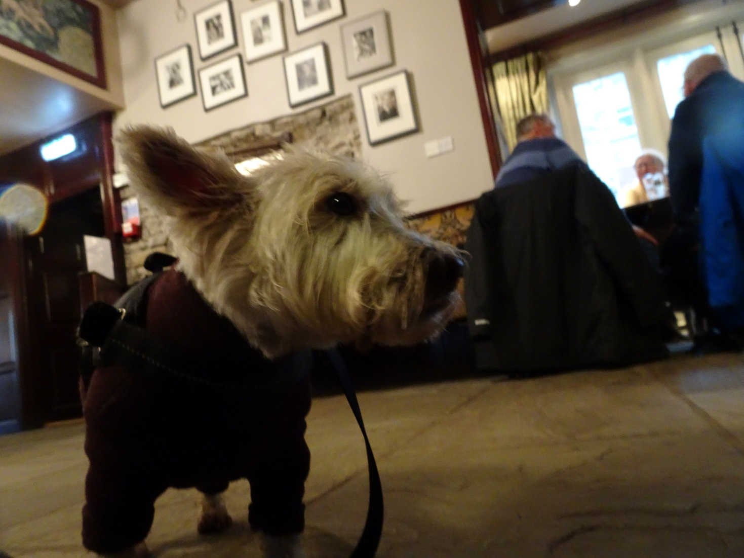 poppy the westie in the drovers Darroby