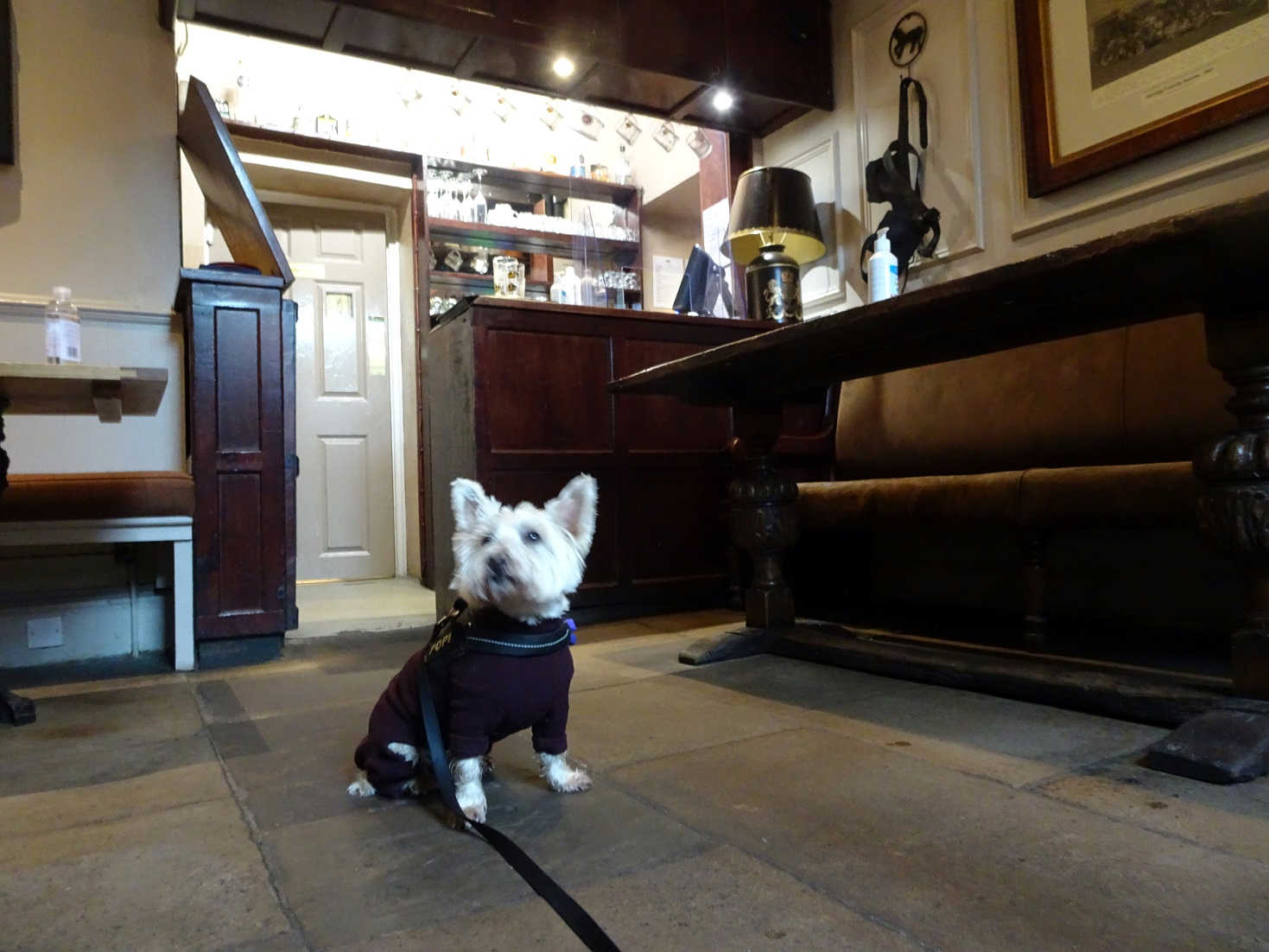 poppy the westie in the drovers snug