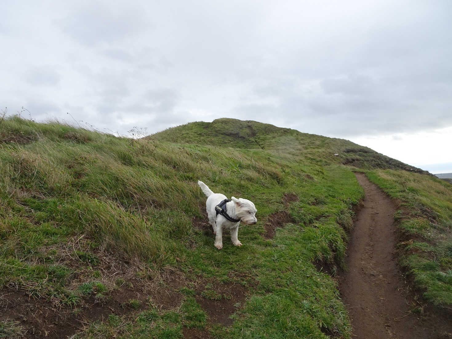 poppy the westie in wind on costal path