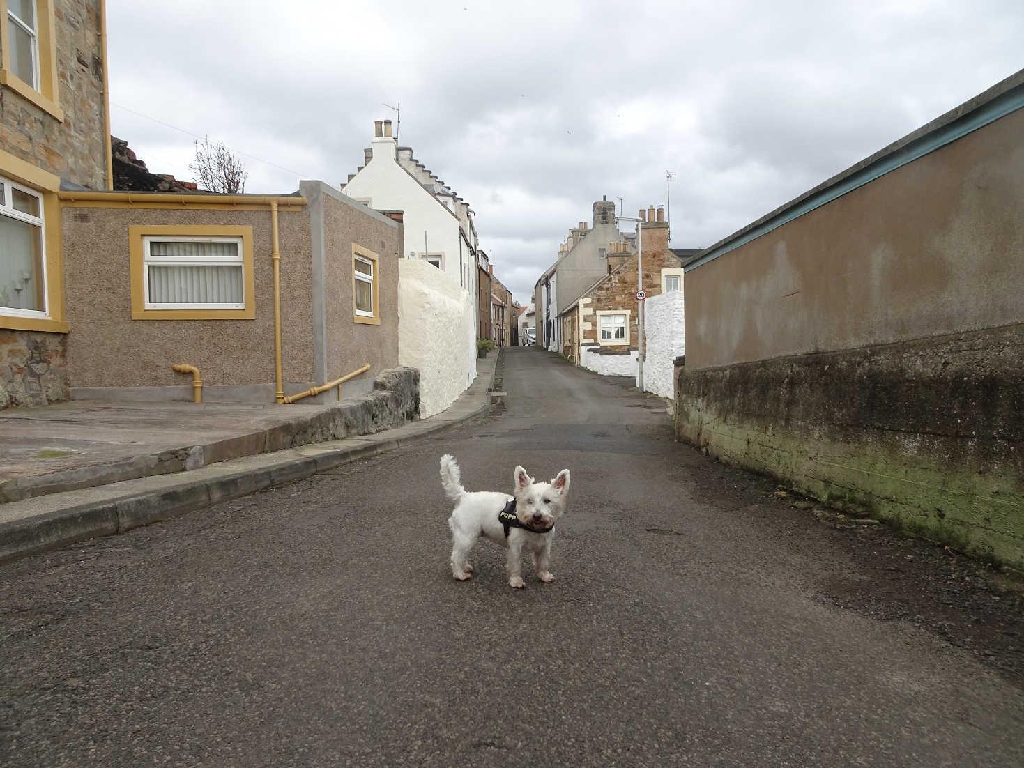 poppy the westie off leash in St Monans