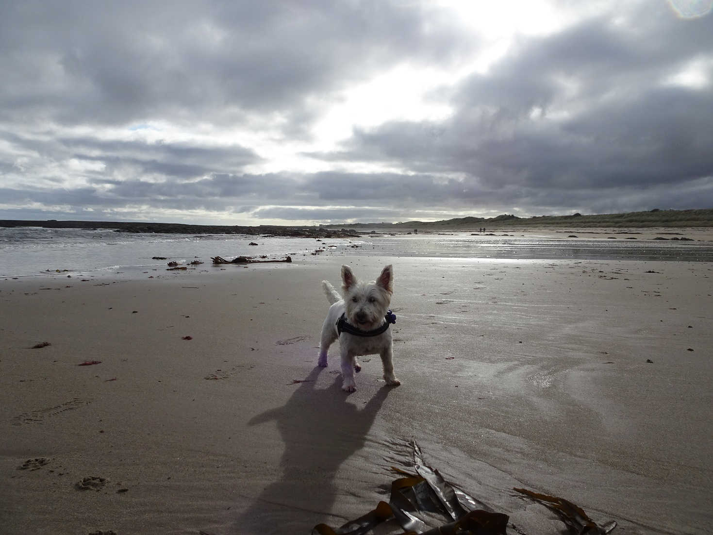 poppy the westie on Annstead beach