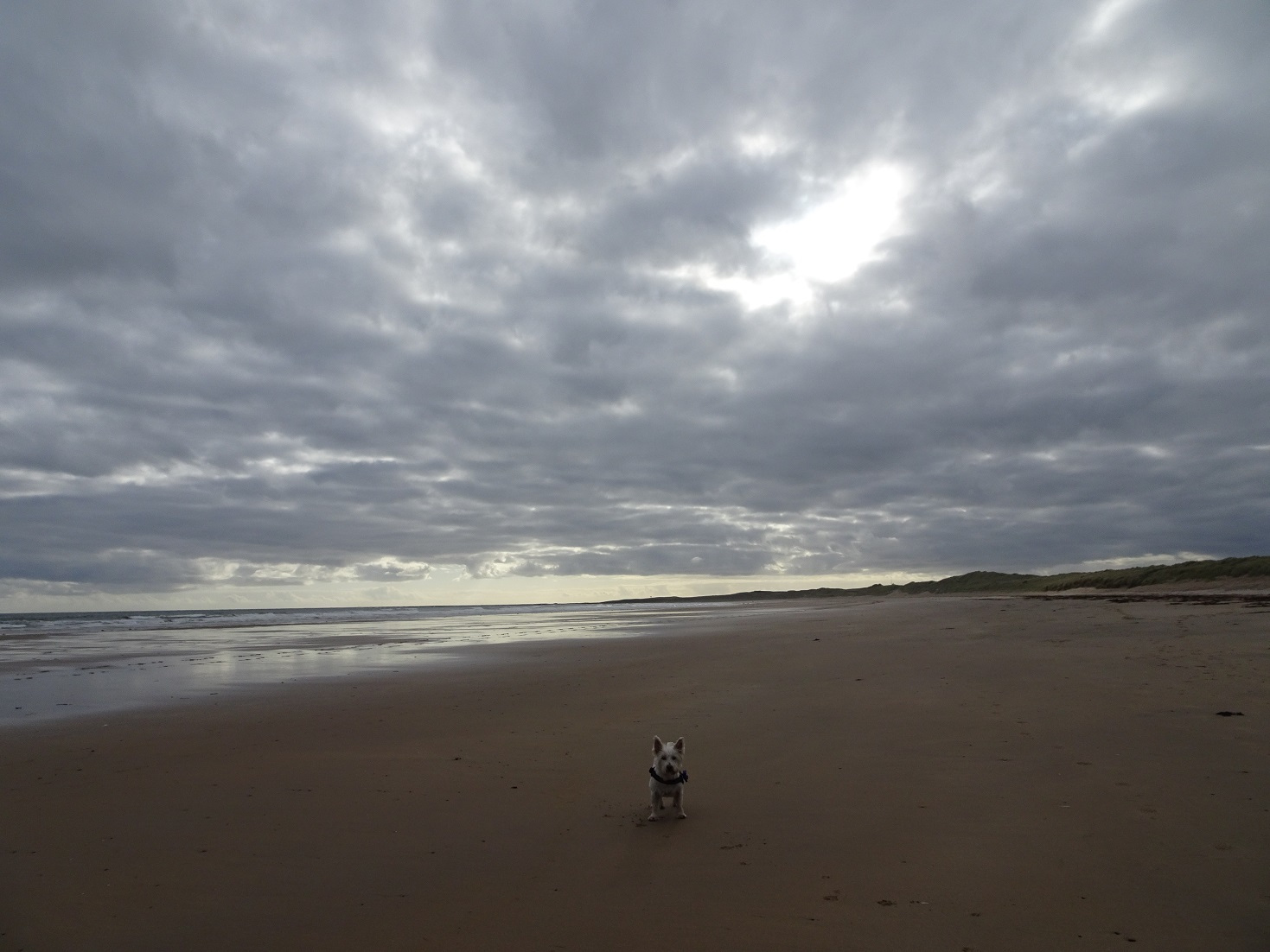 poppy the westie on a deserted beadnell bay
