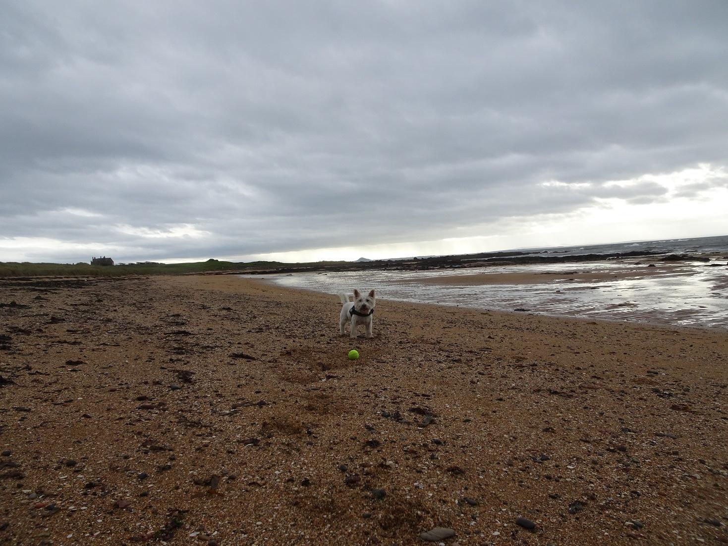 poppy the westie on earlsferry beach