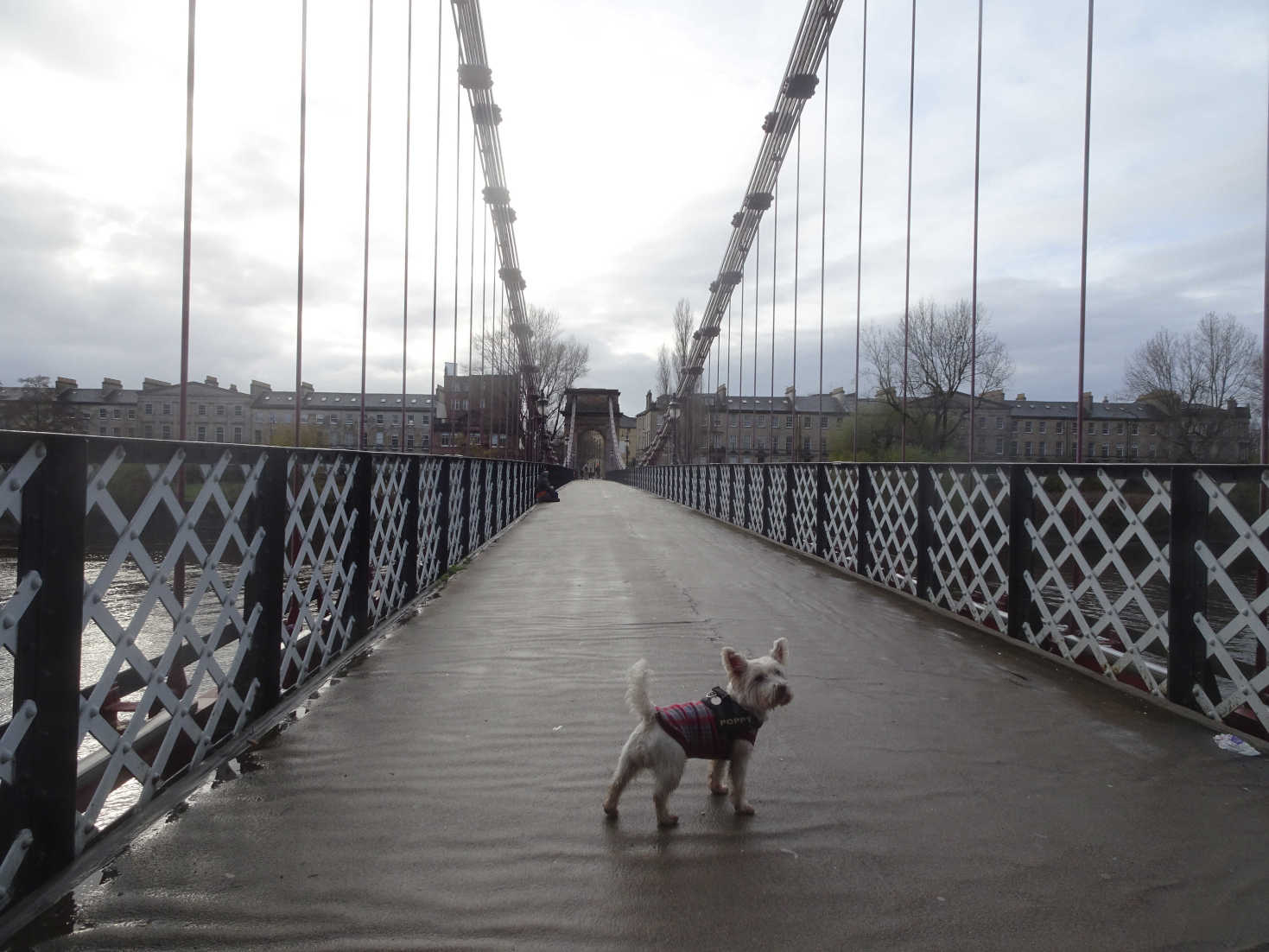 poppy the westie on portland street bridge