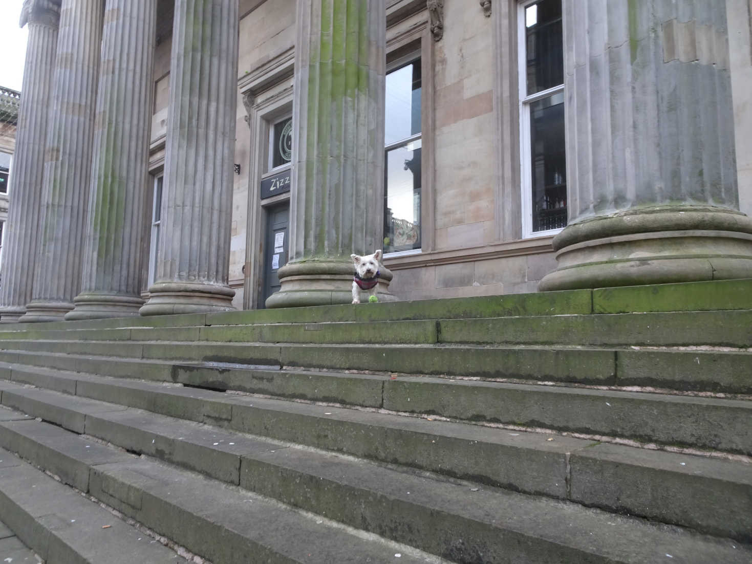 poppy the westie on steps royal exchange square
