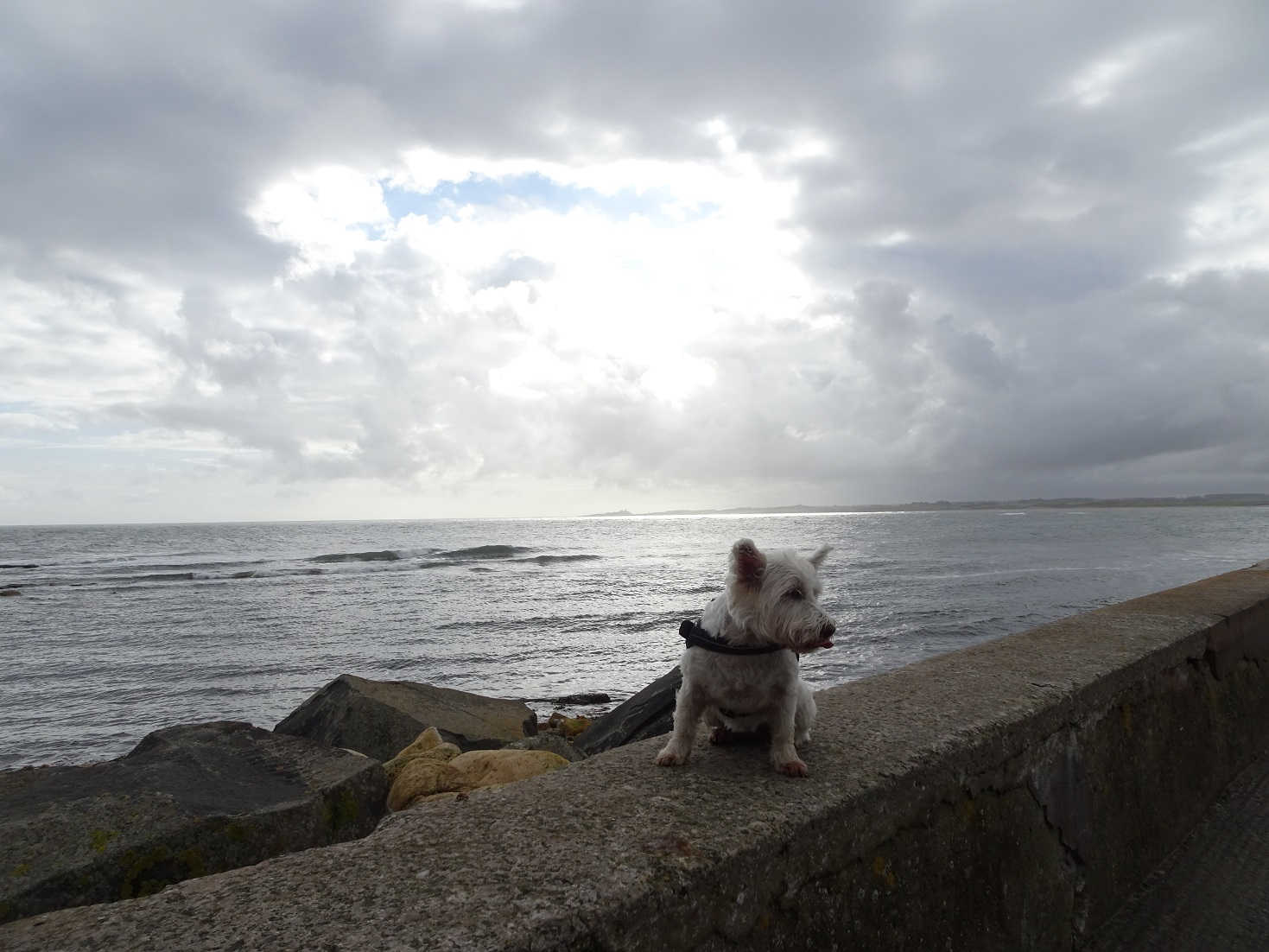 poppy the westie on the sea wall Beadnell Bay