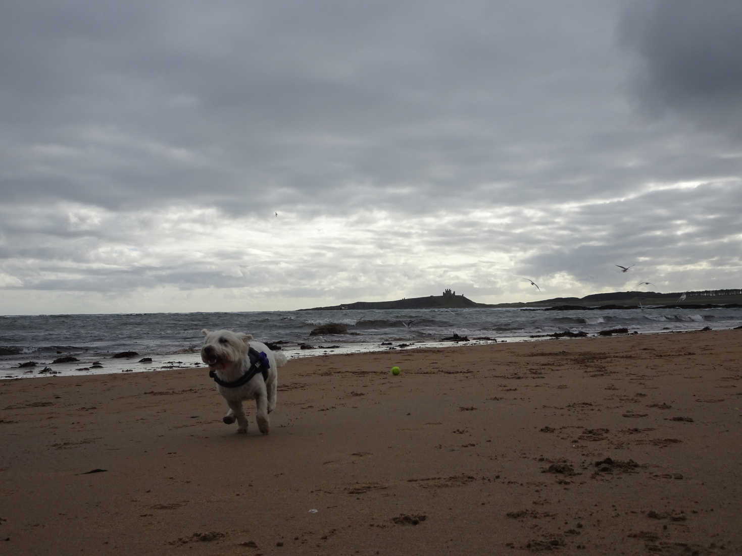 poppy the westie running on low newton by the sea beach