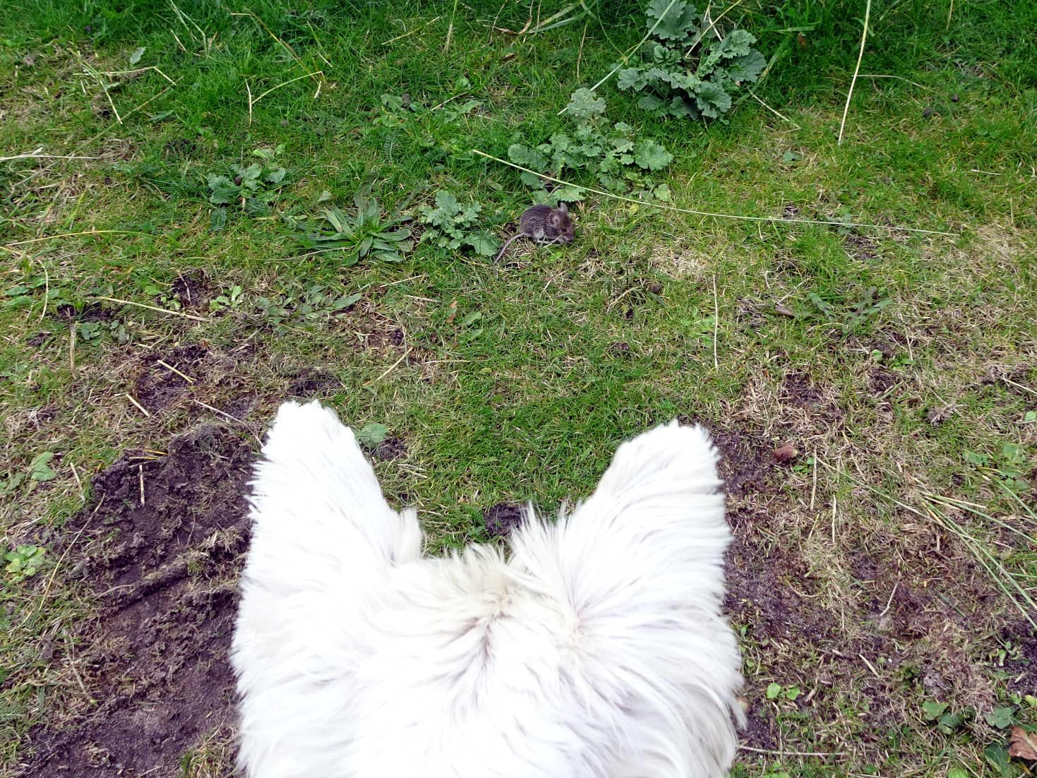 poppy the westie spots an intruder