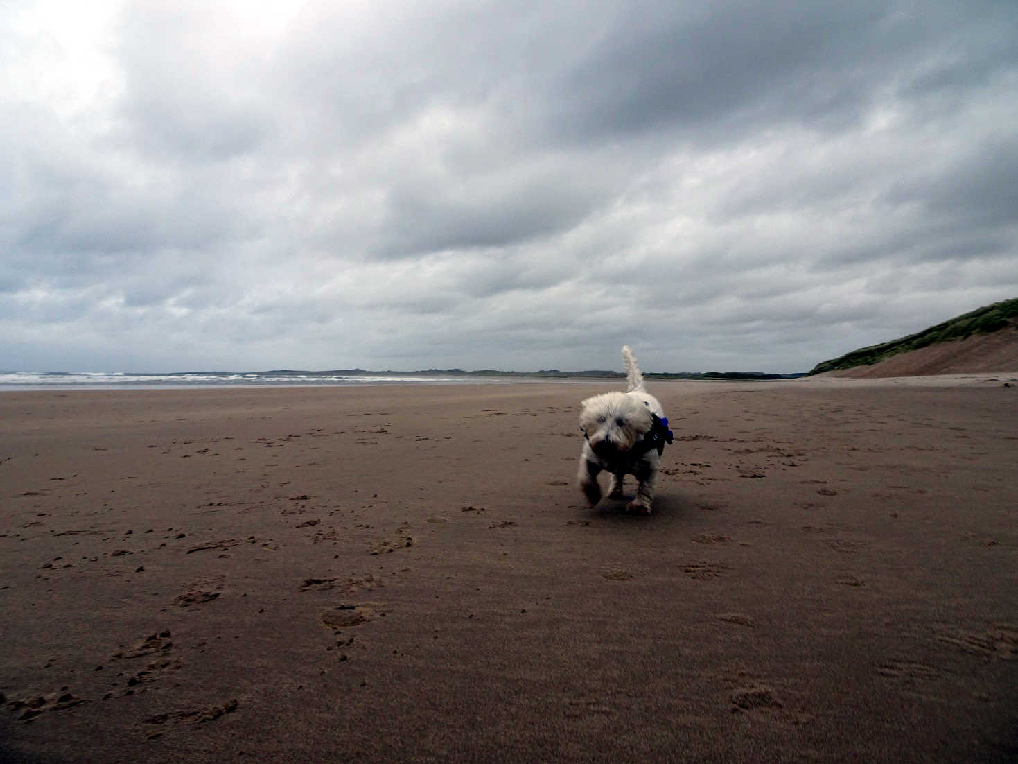 poppy the westie windswept at beadnell bay