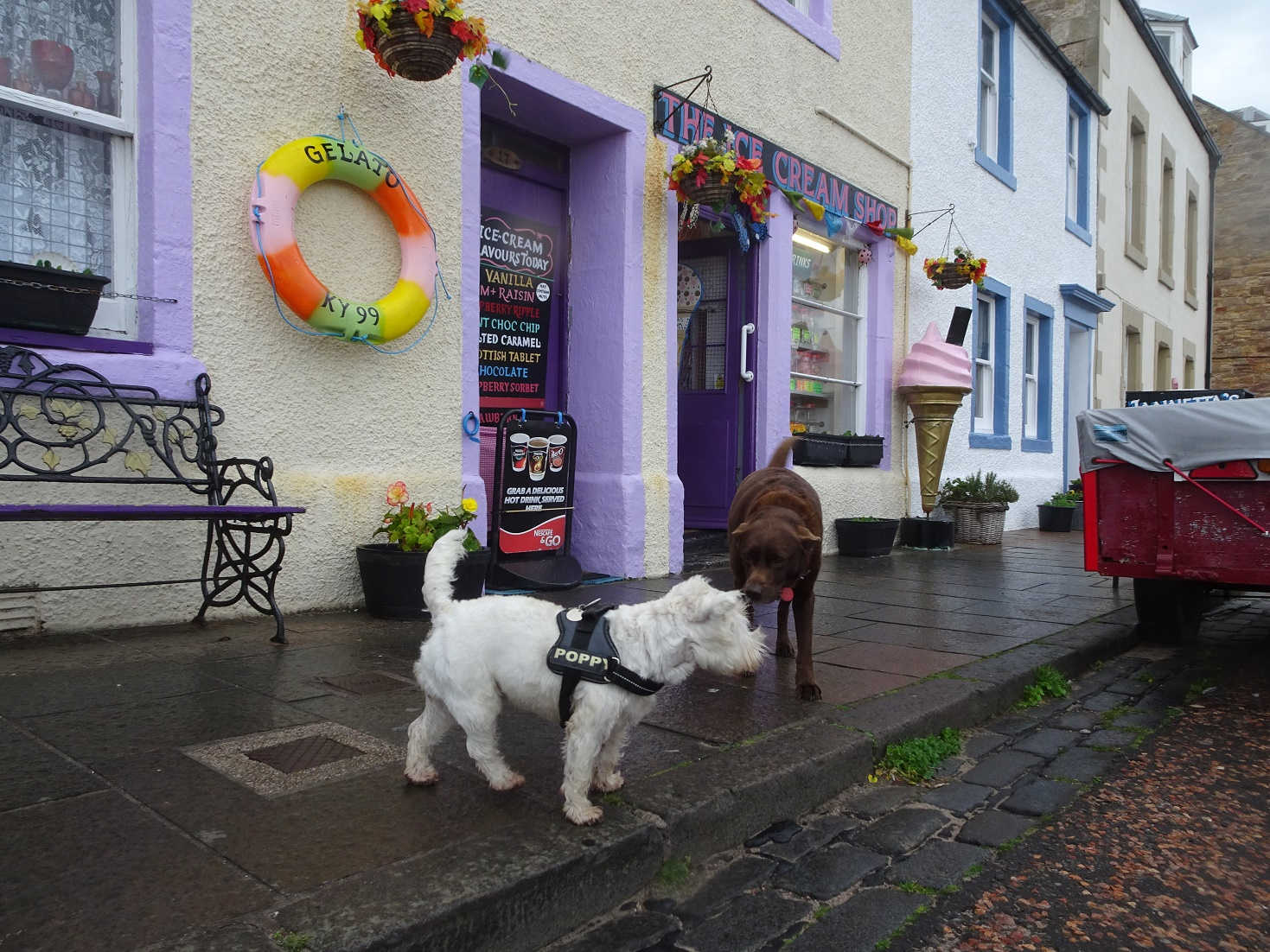poppy the westie with max at pittenweem ice cream shop