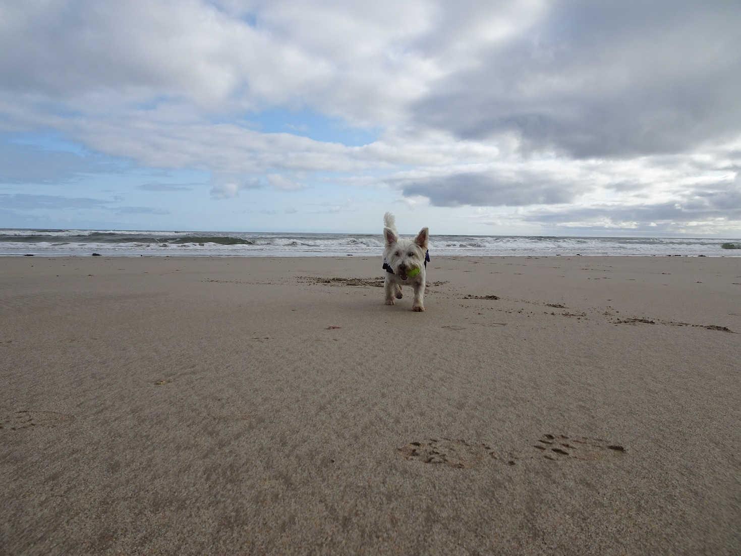 poppy the wetie playing ball on Annstead beach