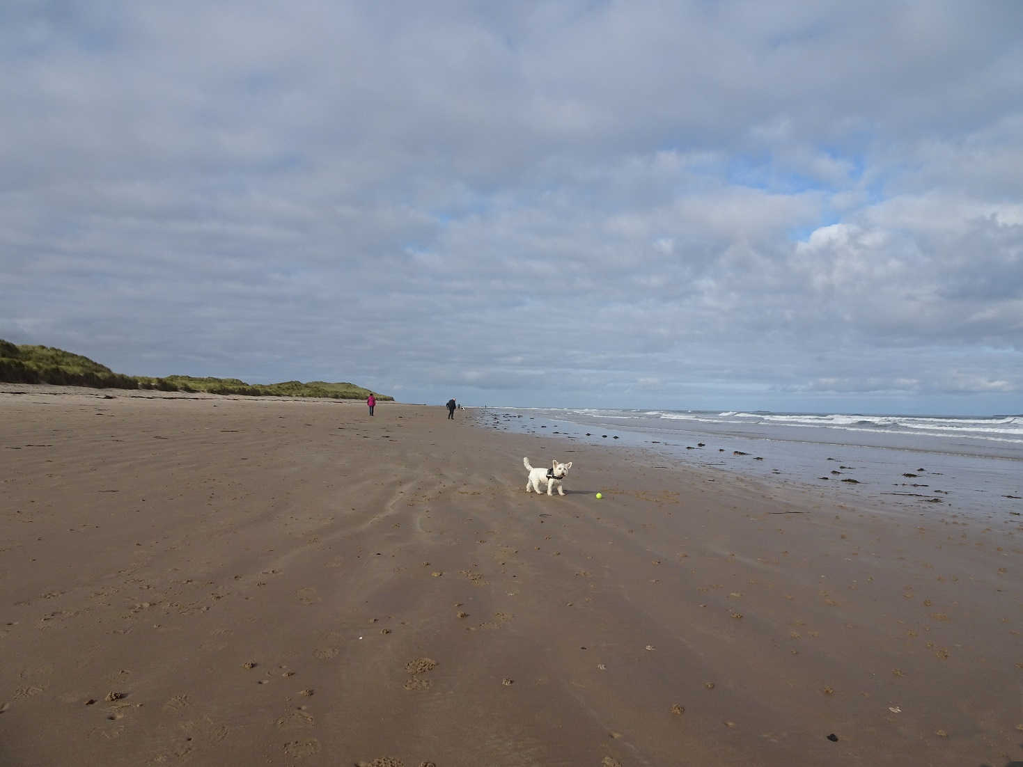 poppysocks playing ball on North Sunderland Beach