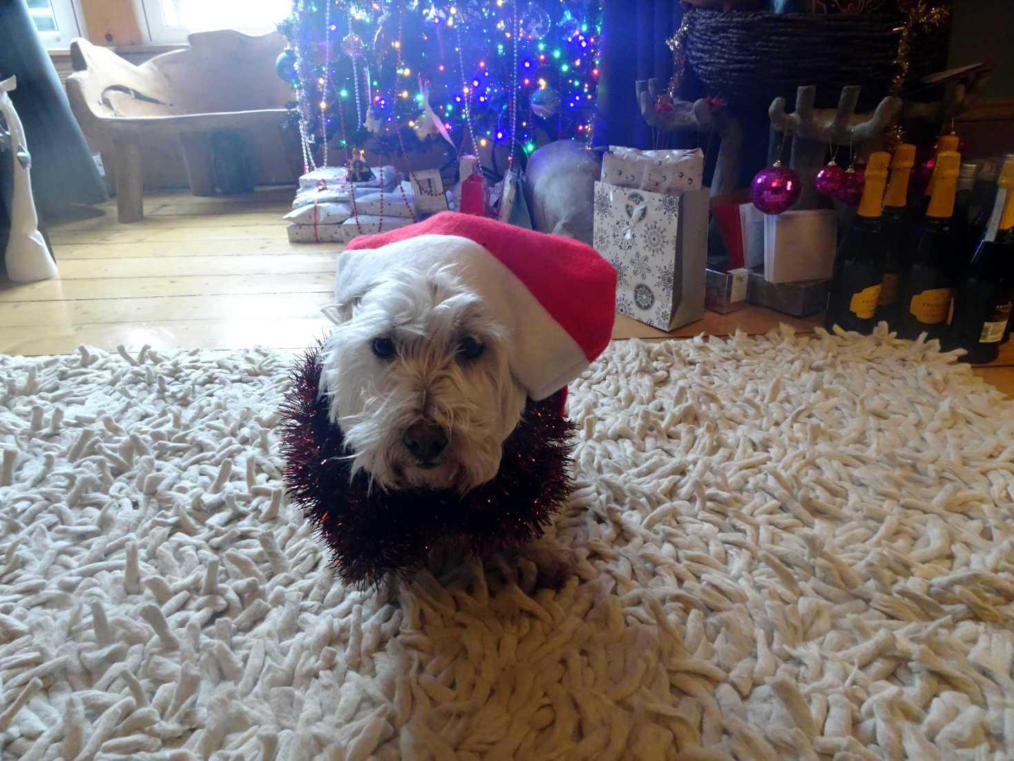 poppy the westie santa hat and tinsel