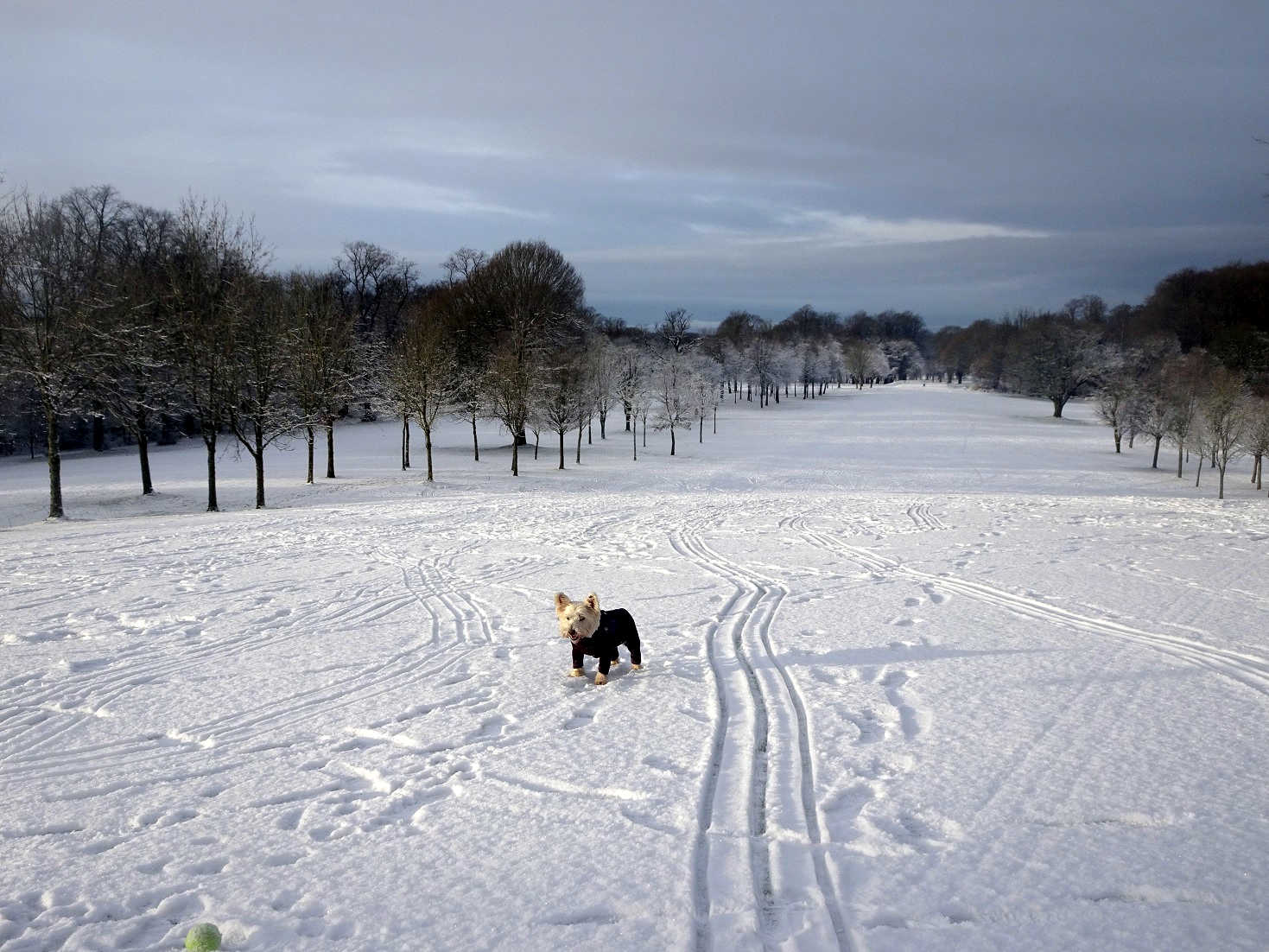 Poppy the westie on pollock golf course in the snow