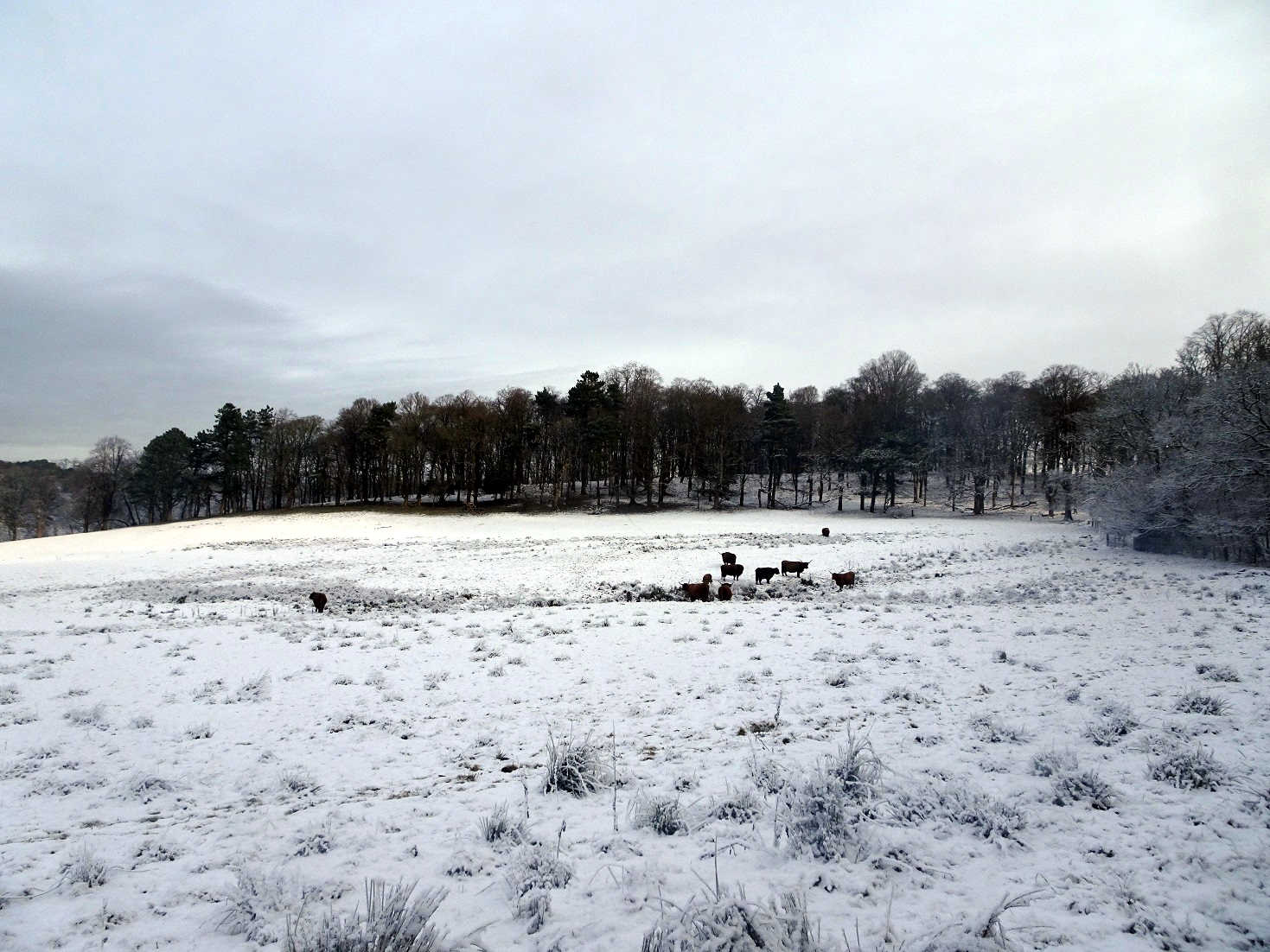 highland coos in the snow at Pollock Park