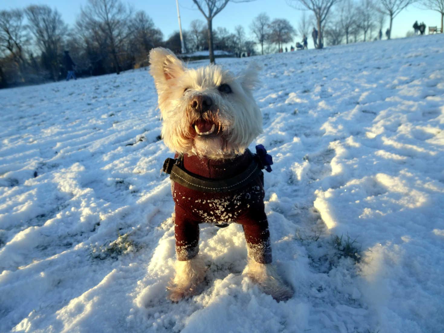 poppy the westie at snowy queens park