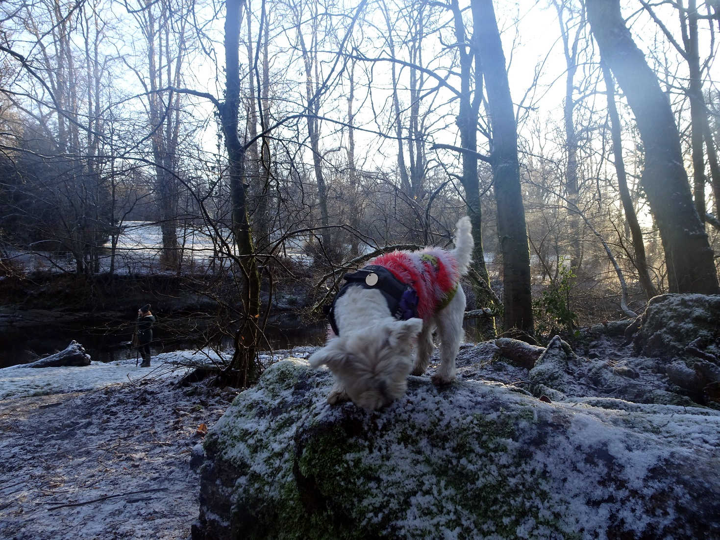 poppy the westie exploring a wintery Linn Park