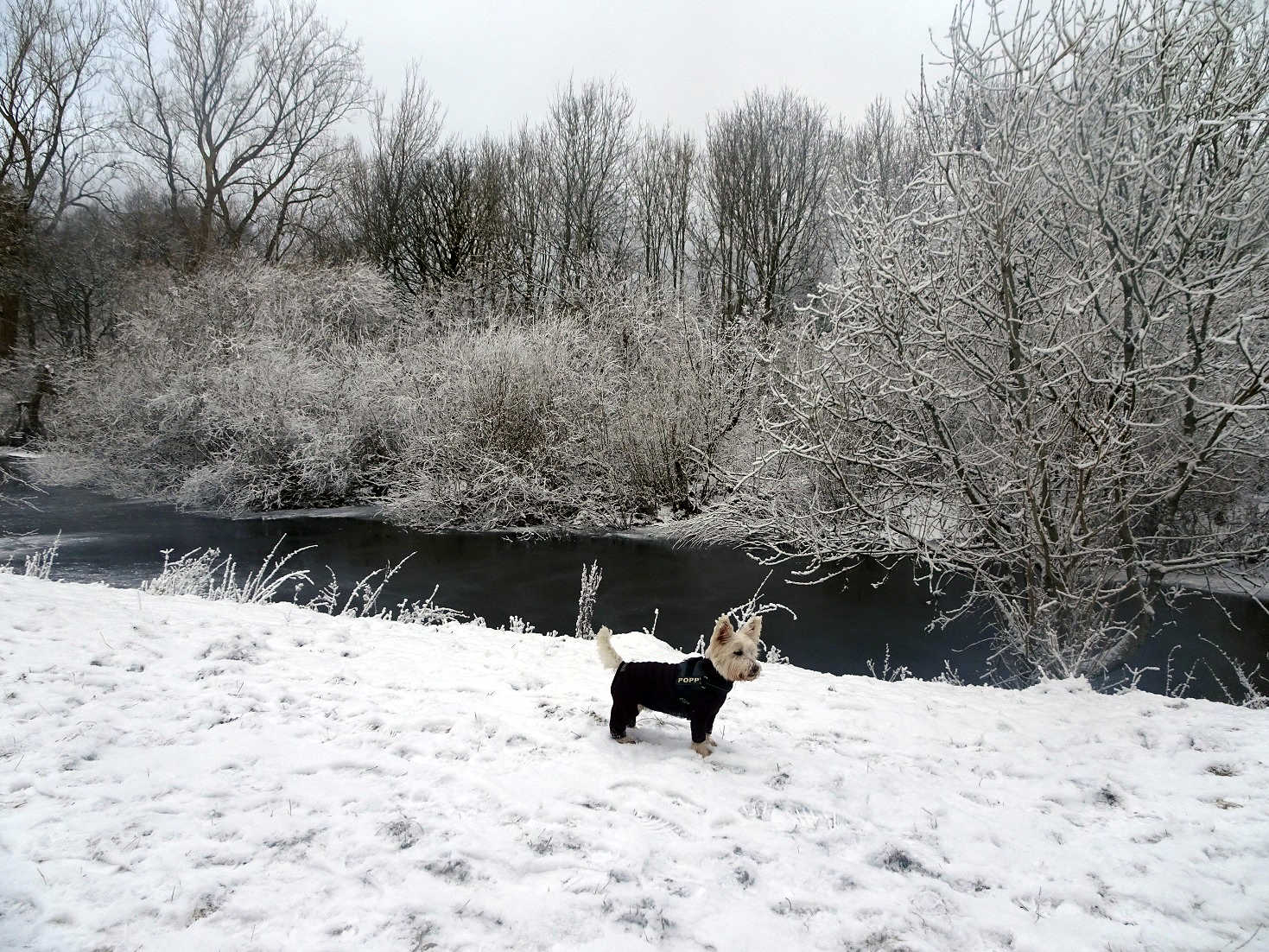 poppy the westie finds the white cart