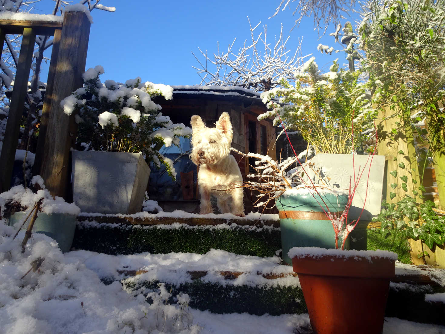 poppy the westie gaurding the shed in the snow