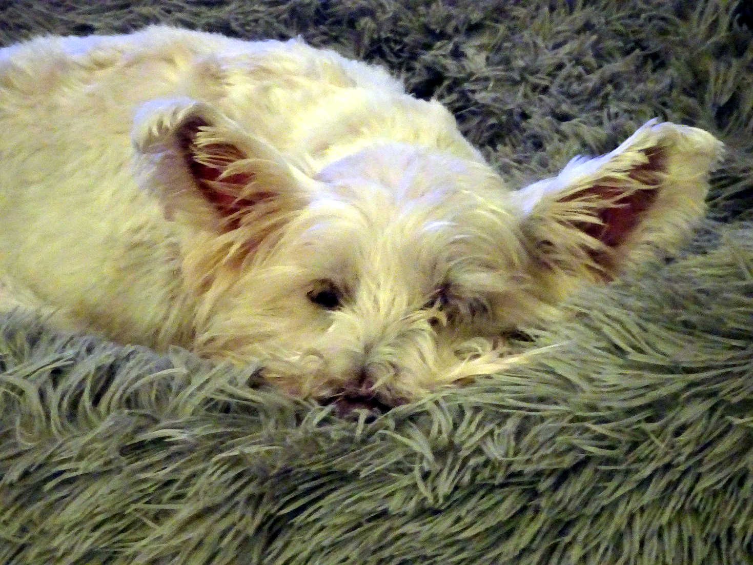 poppy the westie having a snooze after the old firm game