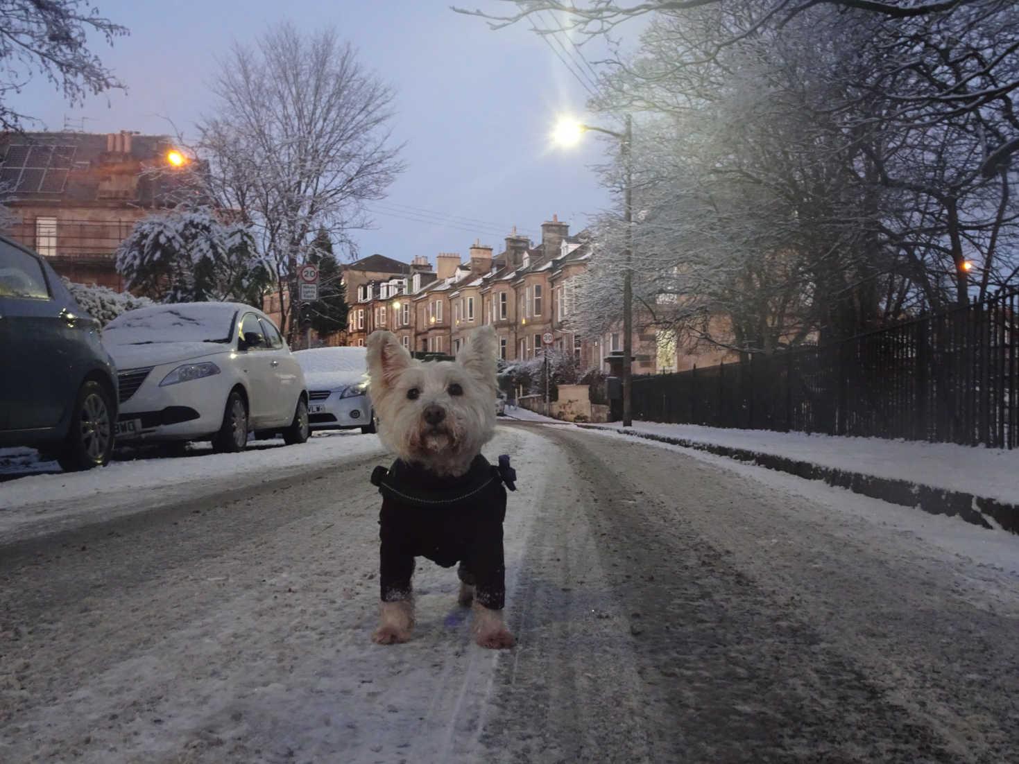 poppy the westie in a snowy cathkin road