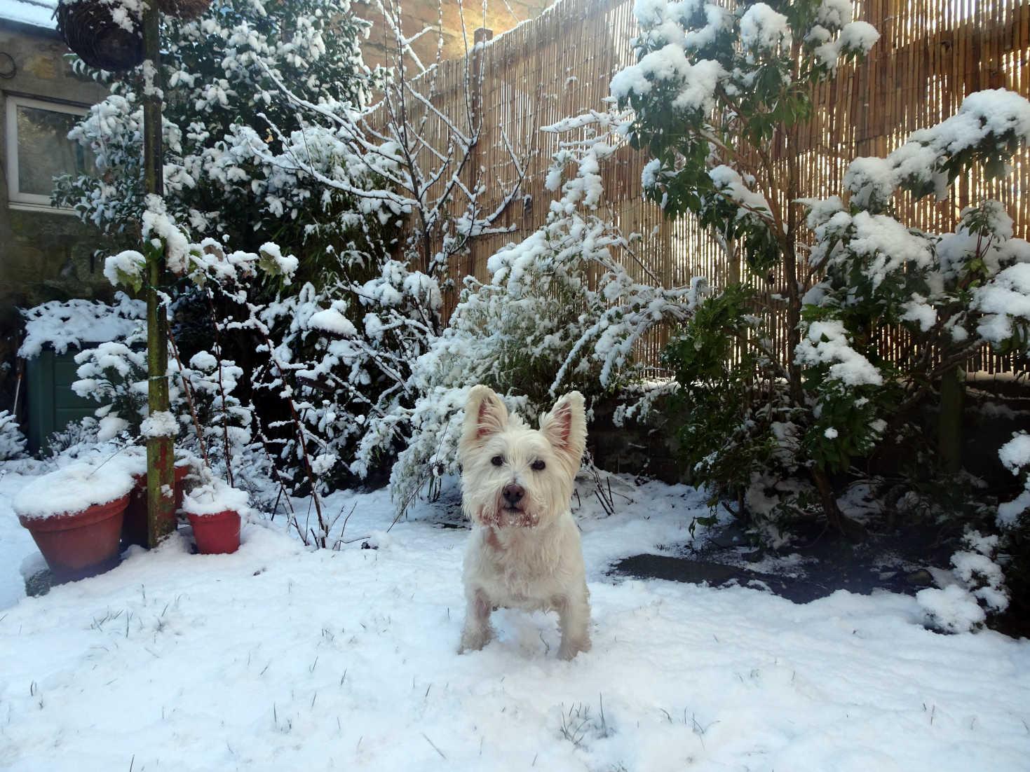 poppy the westie in snowy back garden