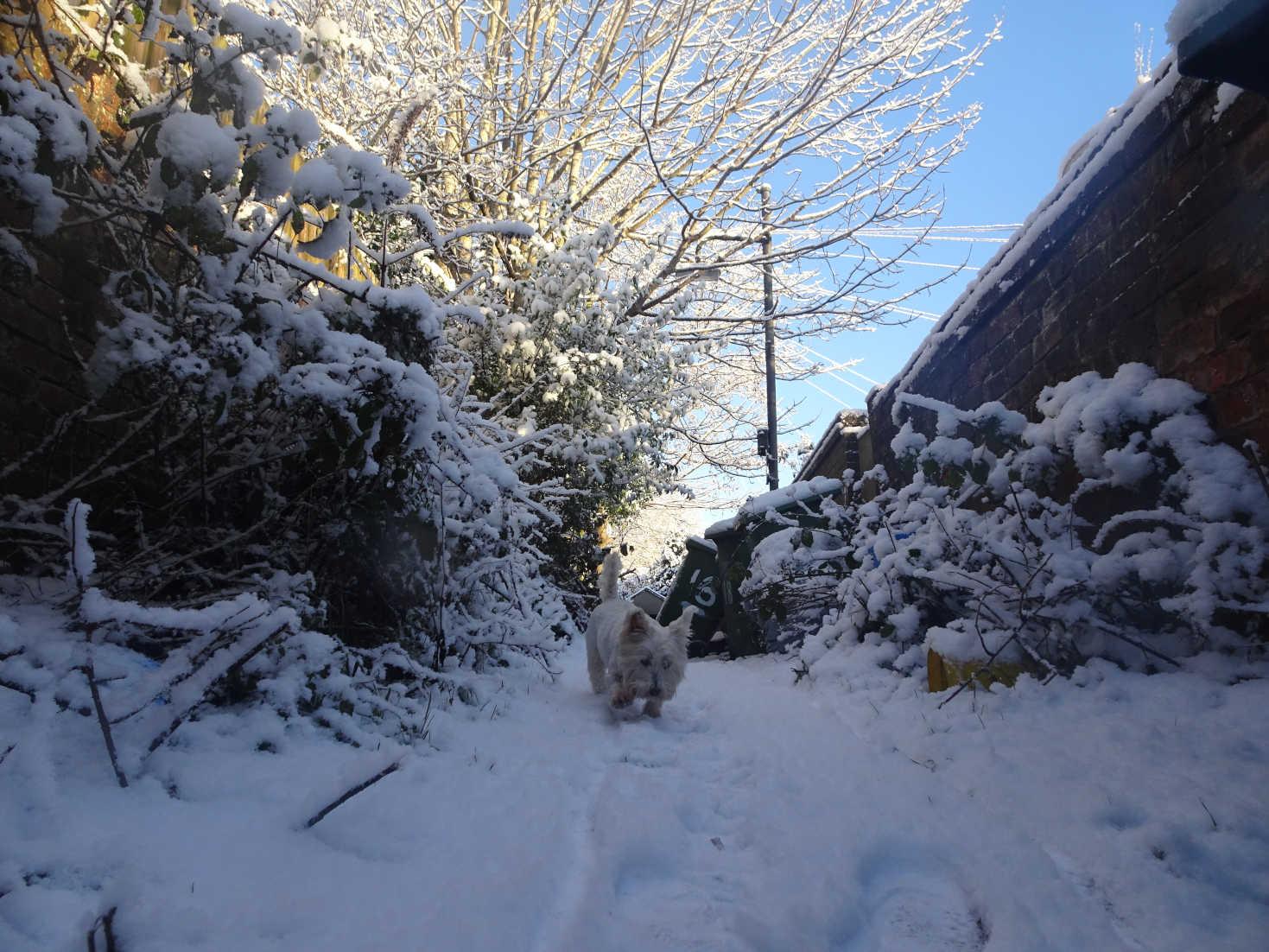 poppy the westie in snowy bin lane