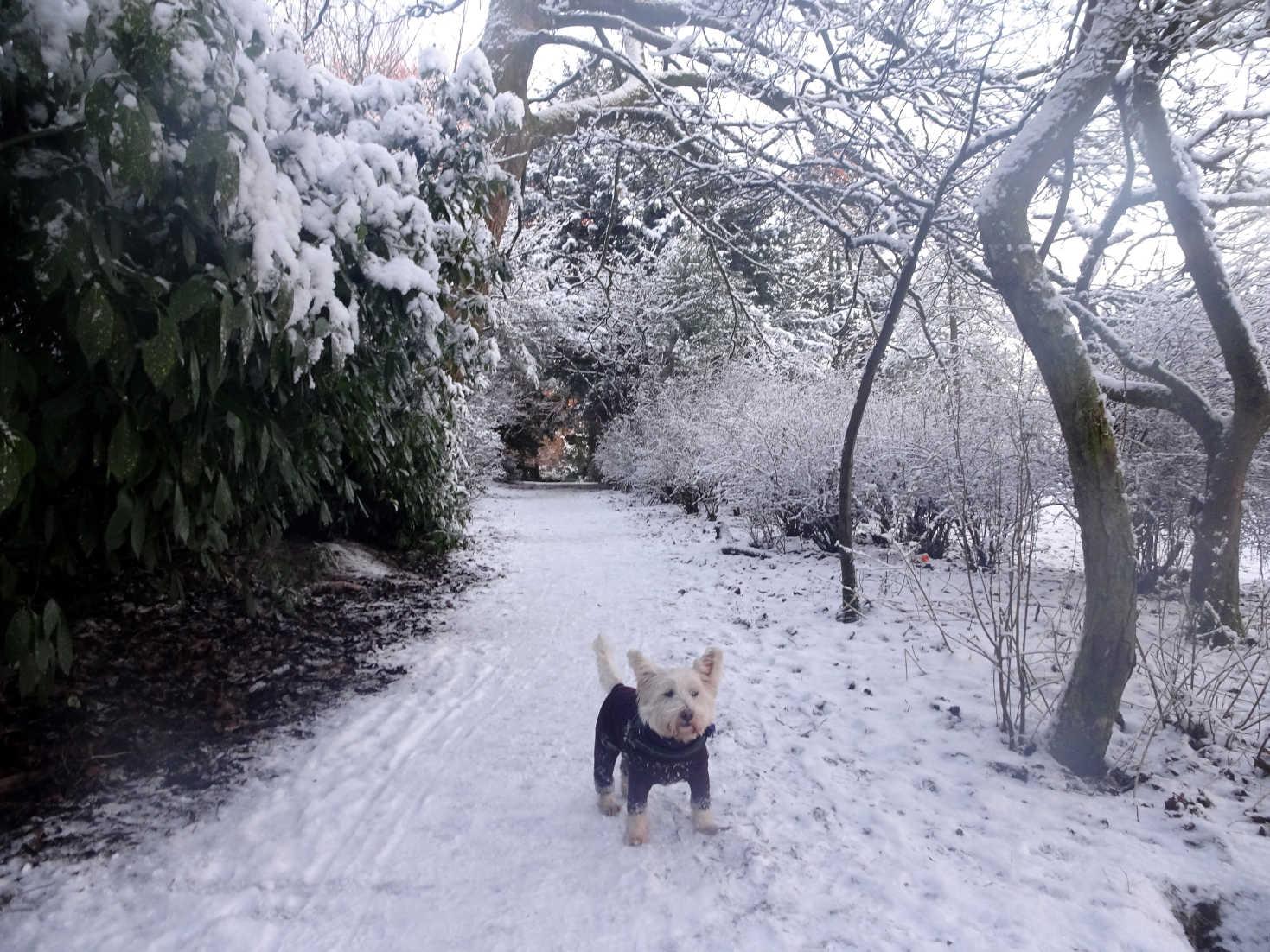 poppy the westie in snowy squirrle ally