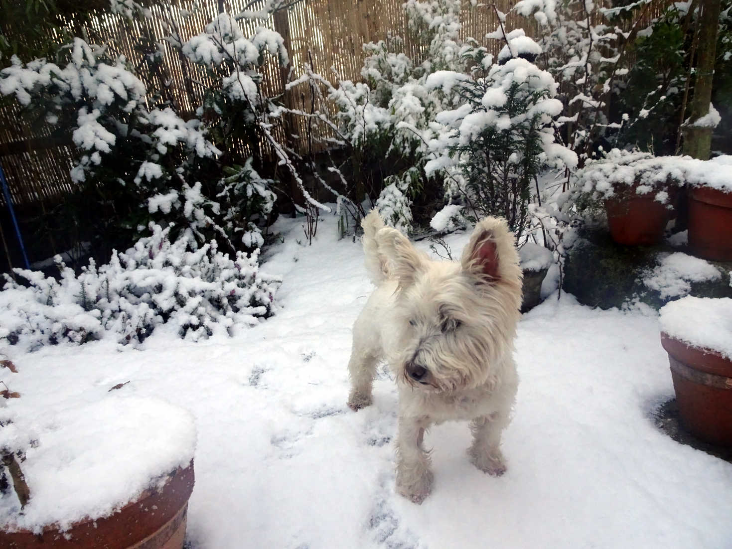 poppy the westie in the back with snow