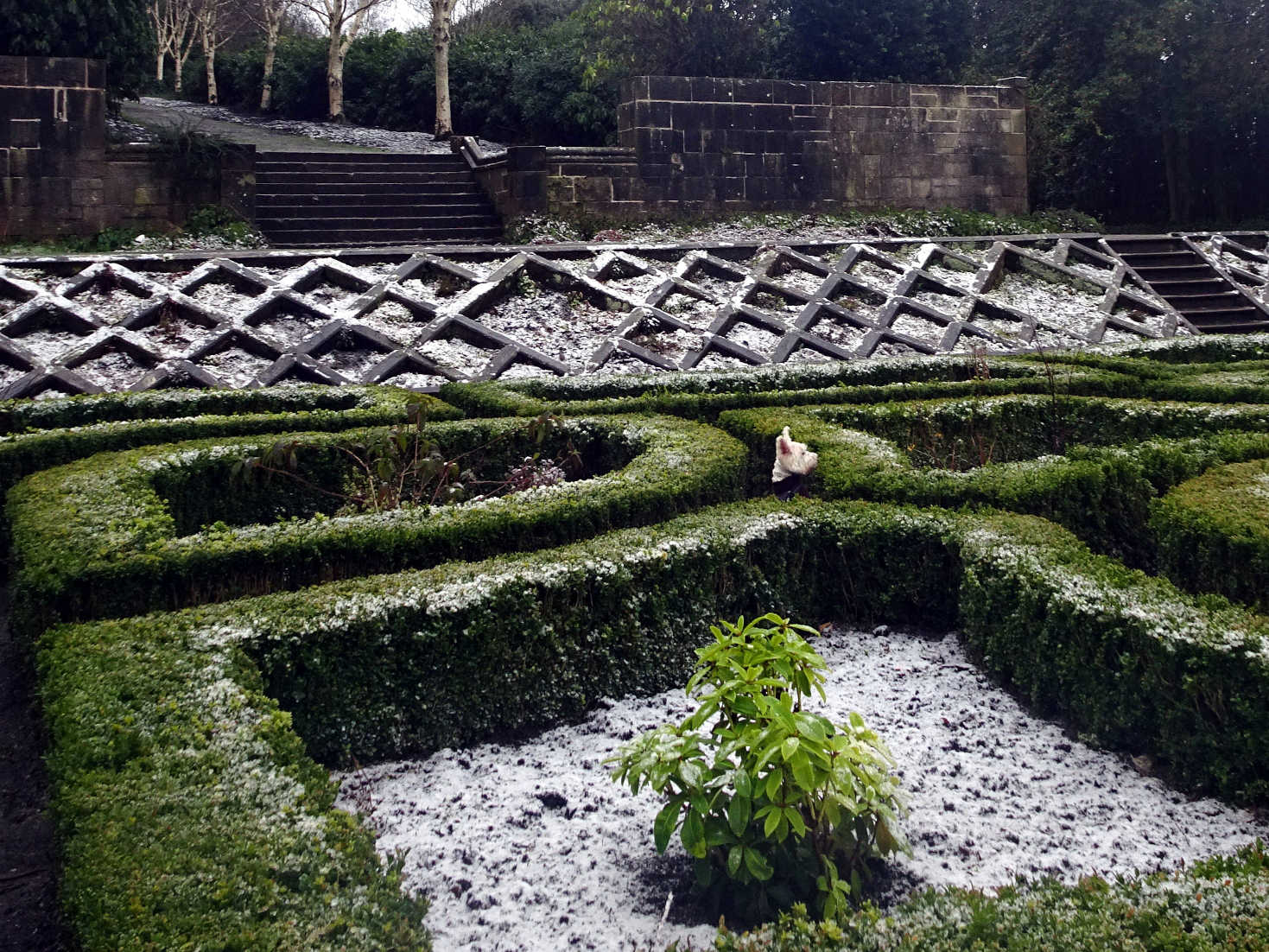 poppy the westie in the maze at pollock house