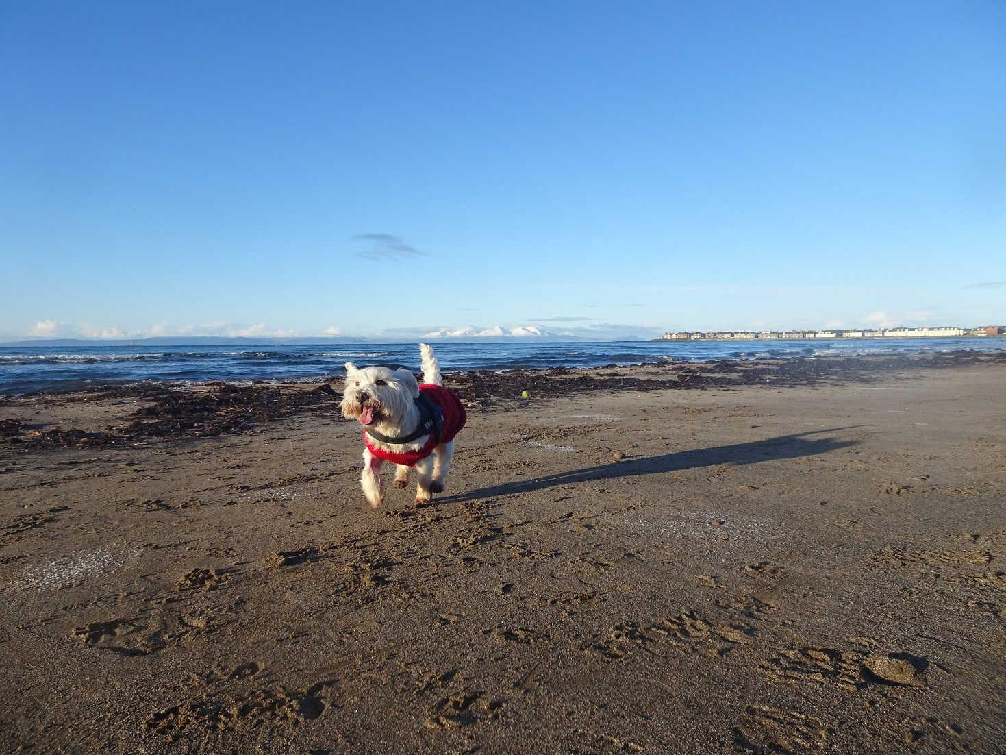 poppy the westie keeping warm on troon beach