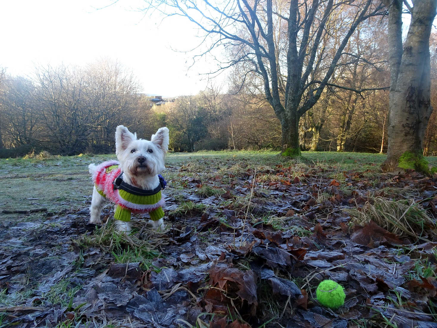 poppy the westie on new years day 2021
