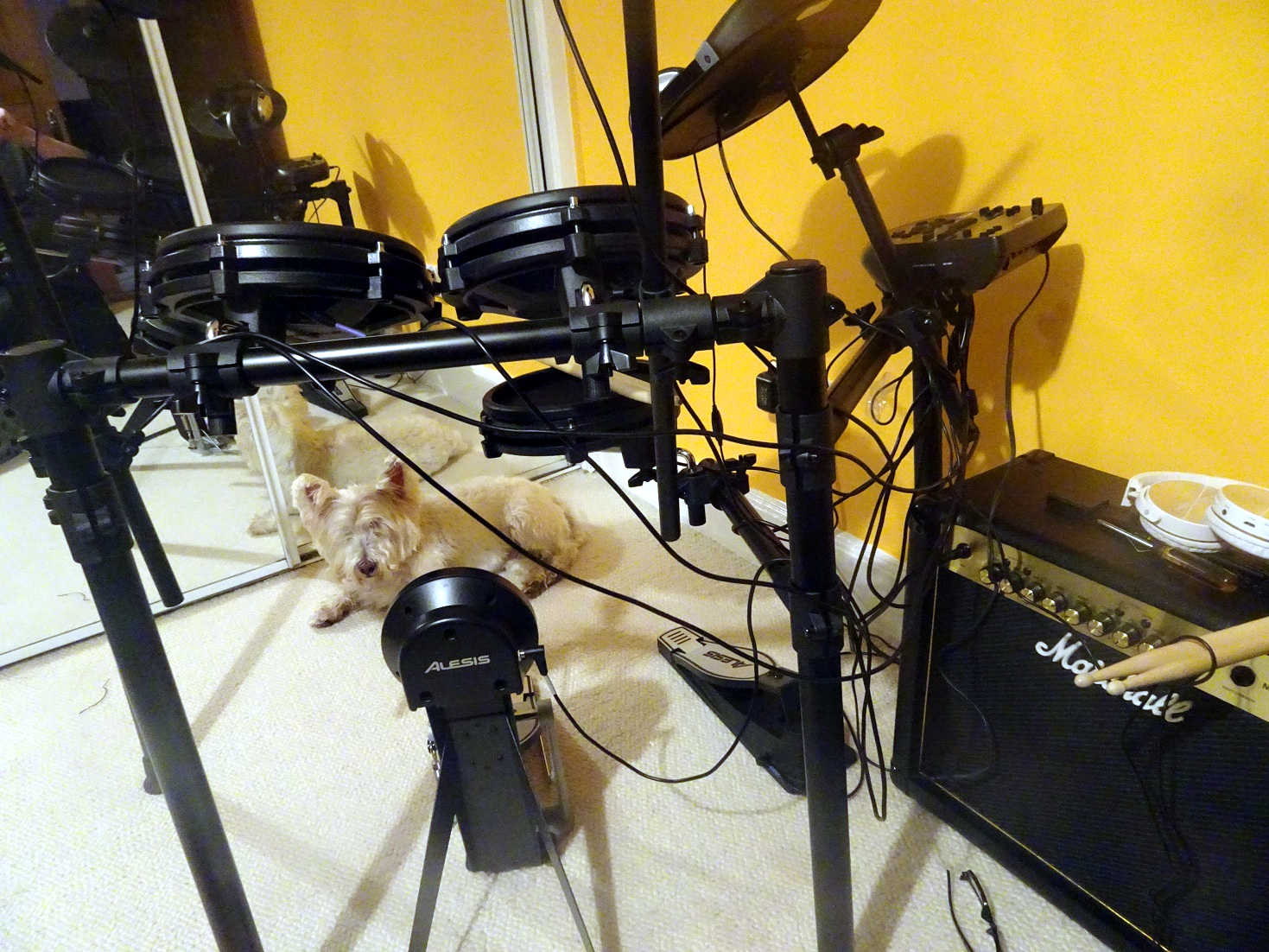 poppy the westie and drum kit