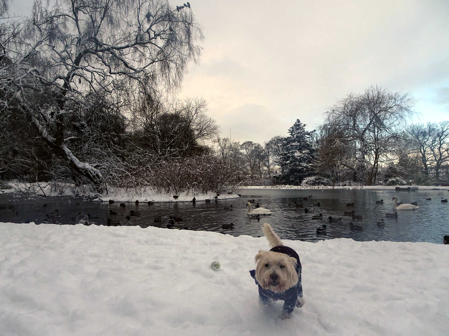 poppy the westie at home park pond in snow