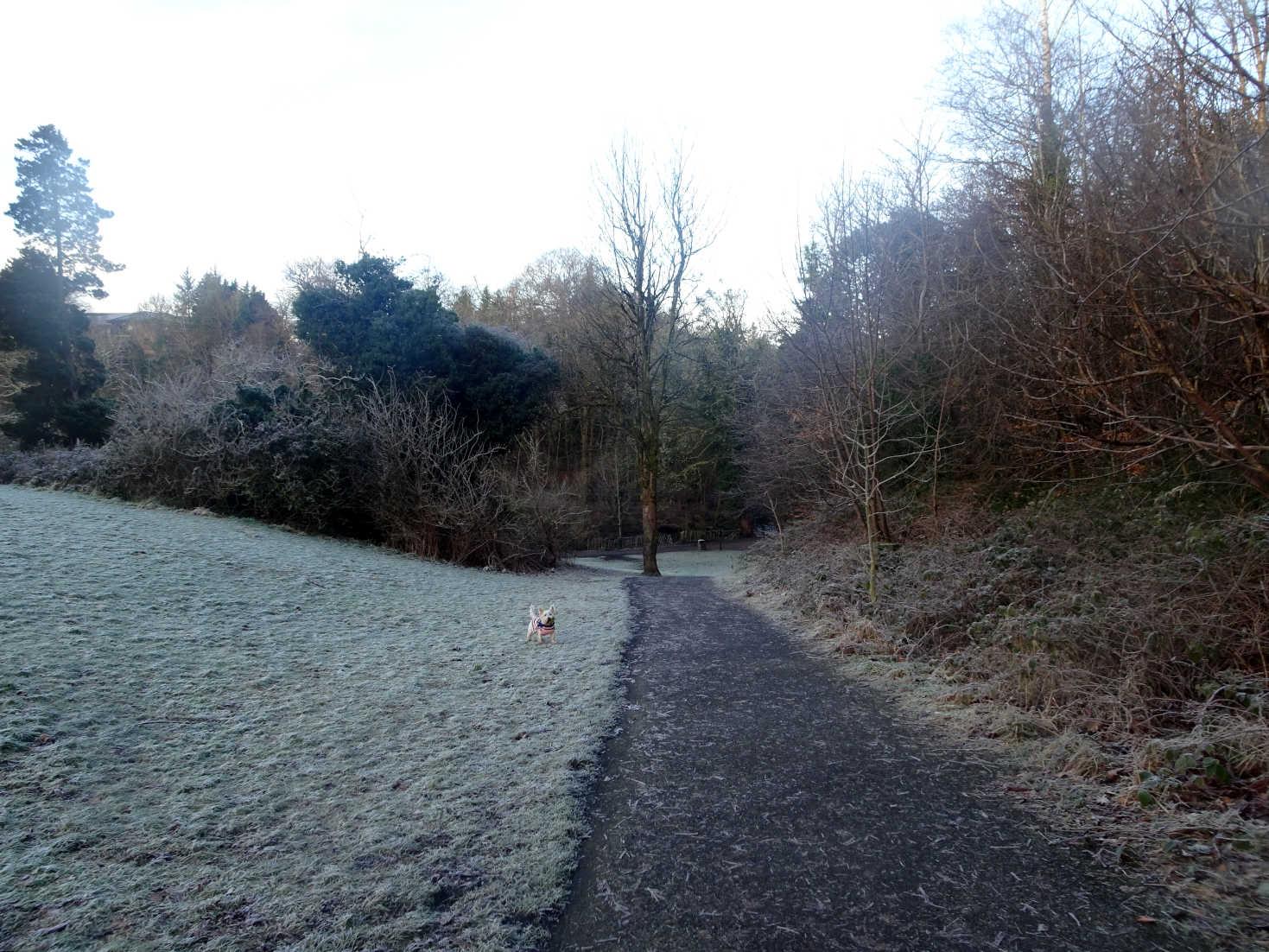 poppy the westie at start of linn park walk
