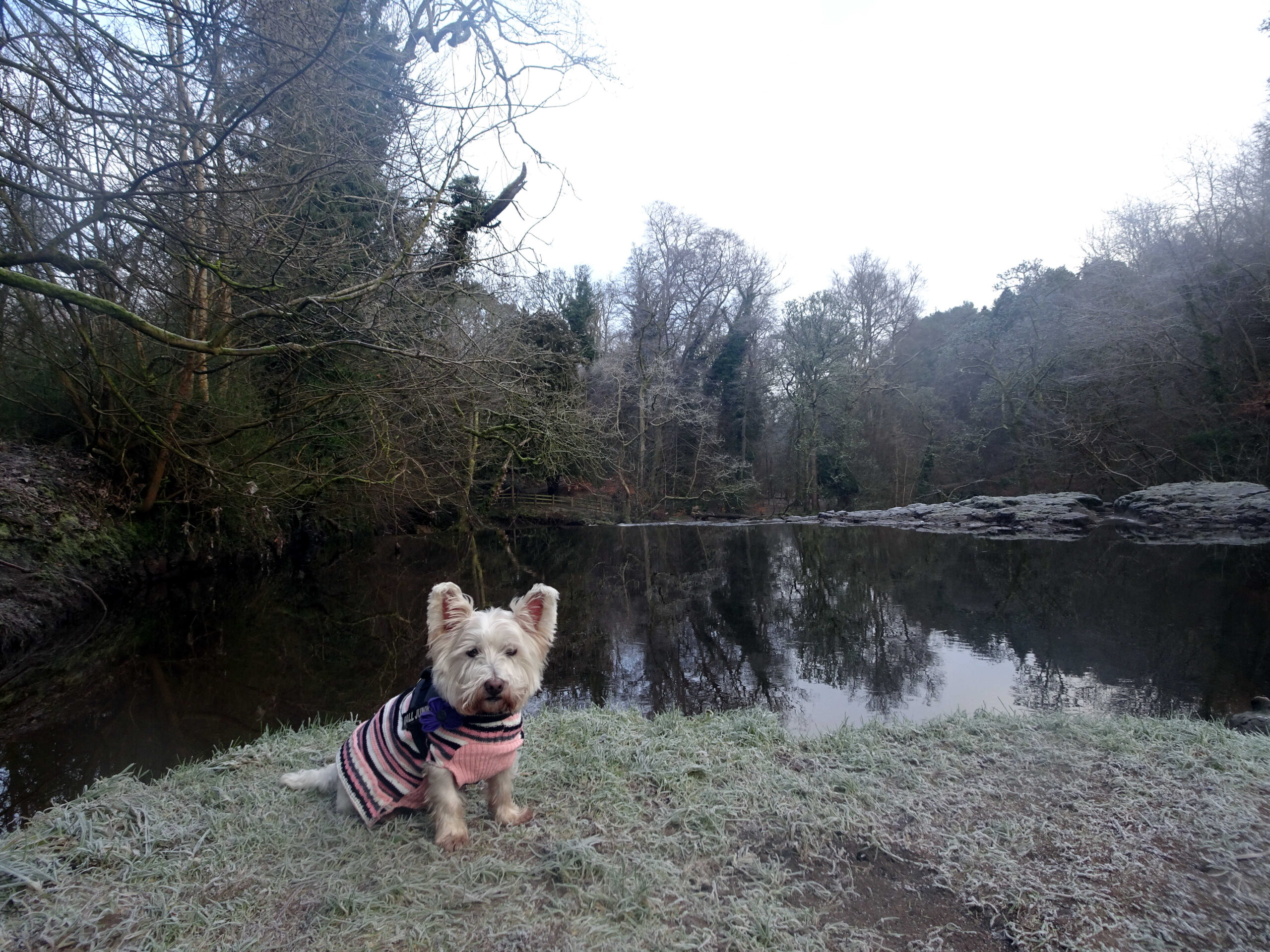 poppy the westie at top of waterfall linn park